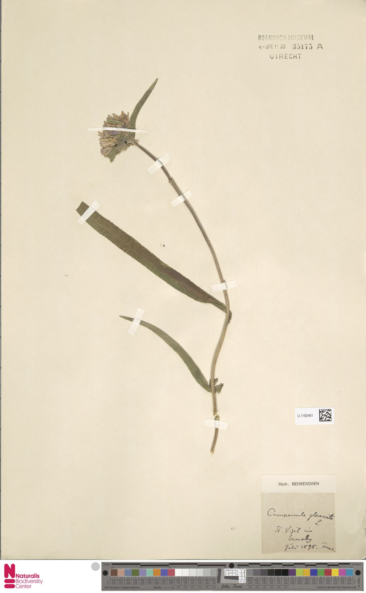 U.1182461 | Campanula glomerata L.