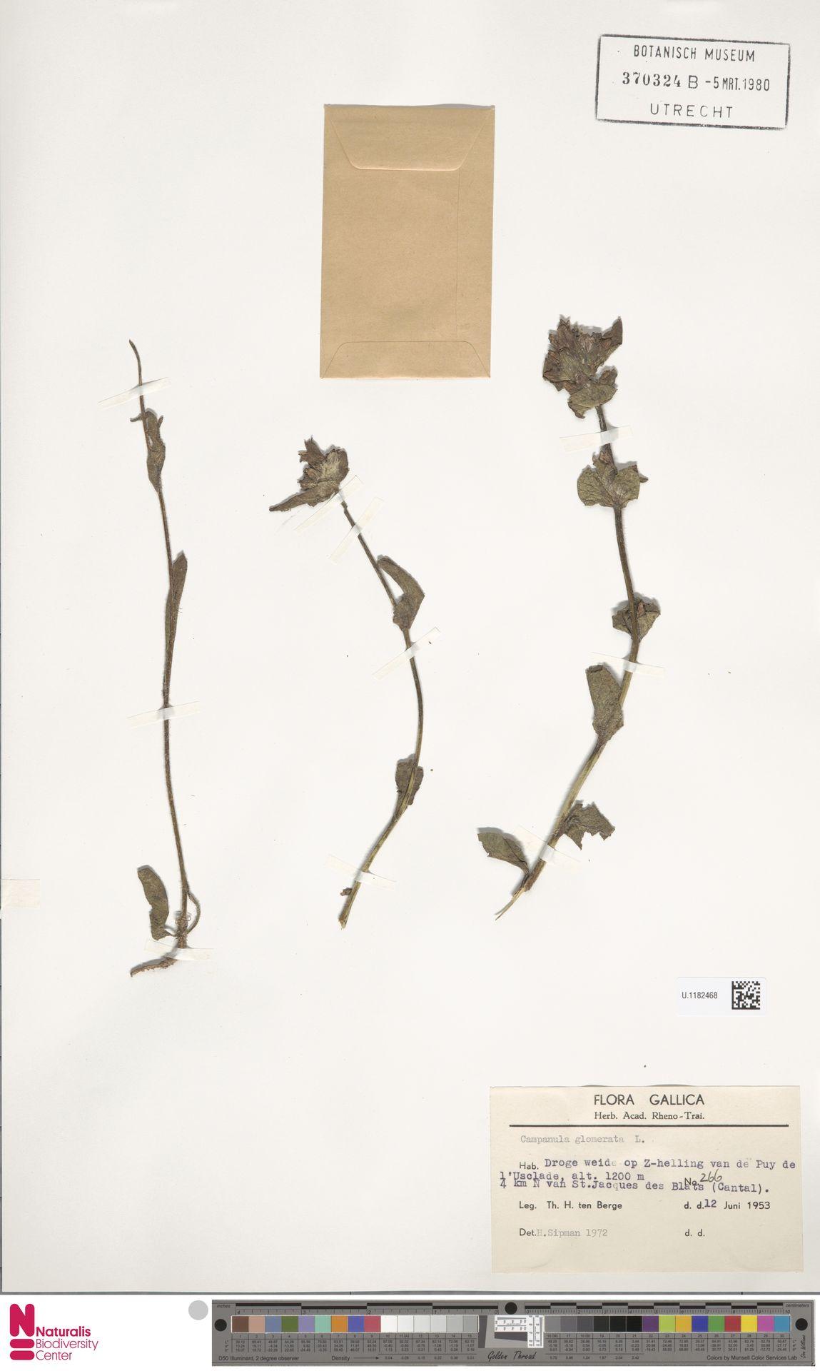 U.1182468 | Campanula glomerata L.