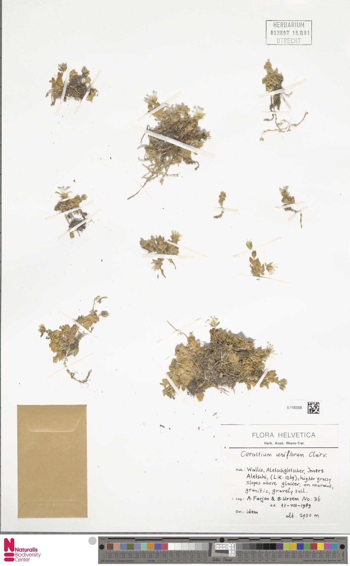 U.1183308 | Cerastium uniflorum Clairv.