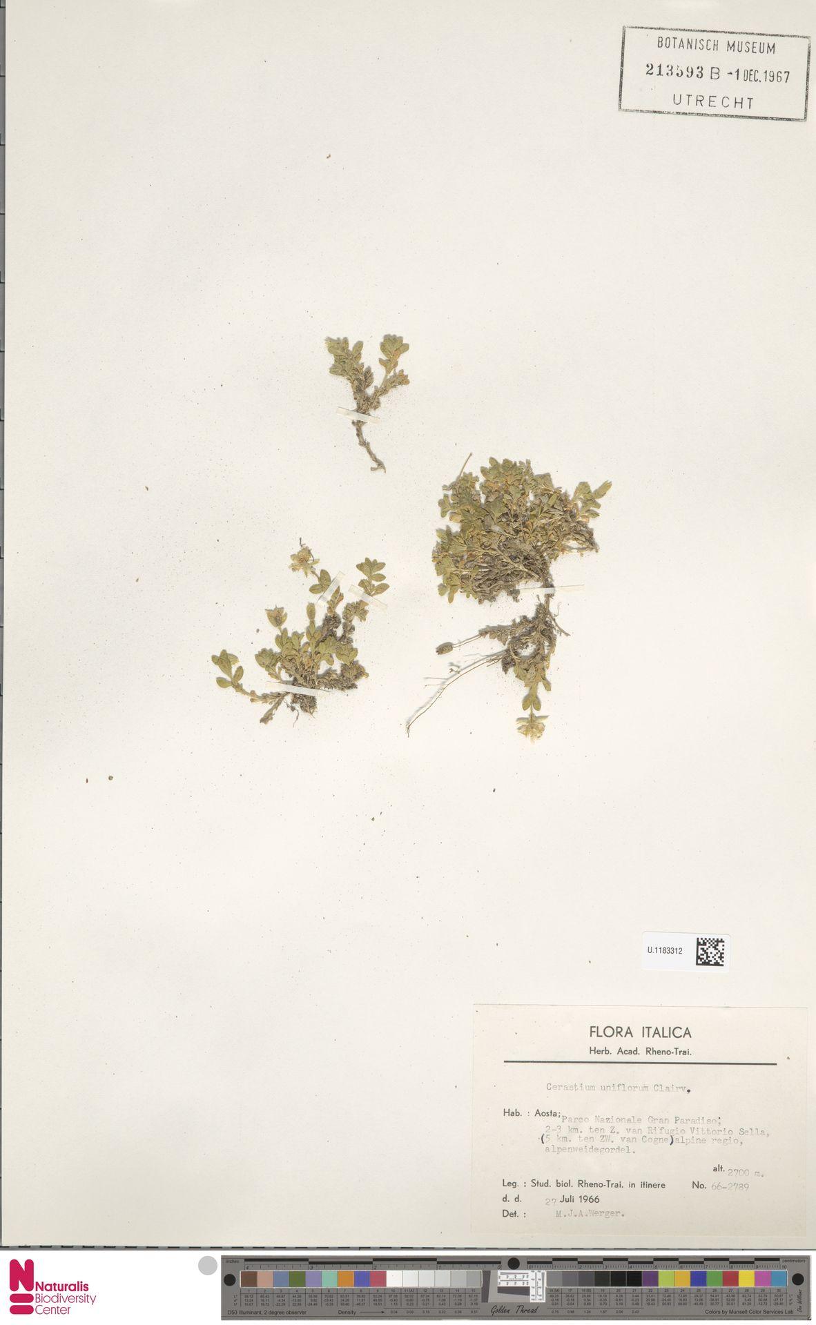 U.1183312 | Cerastium uniflorum Clairv.