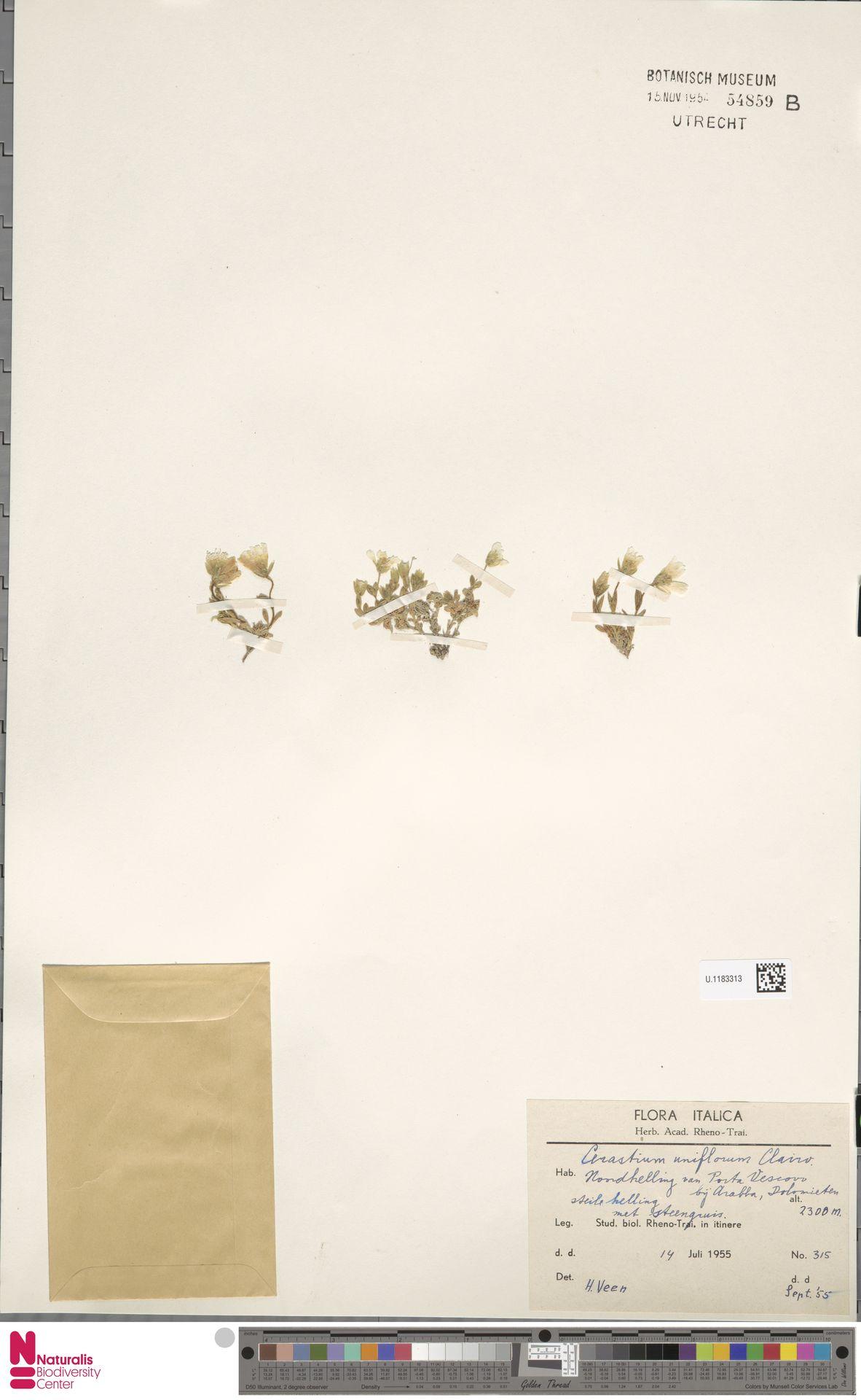 U.1183313 | Cerastium uniflorum Clairv.