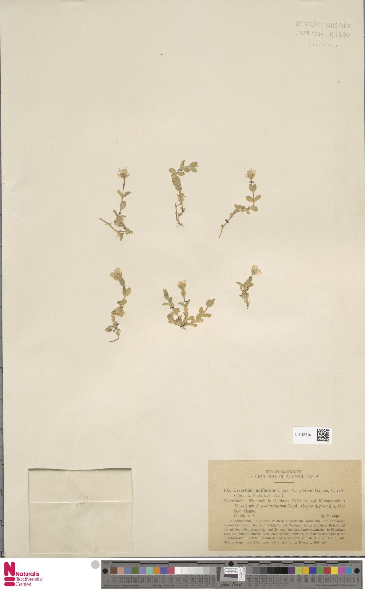U.1183316 | Cerastium uniflorum Clairv.