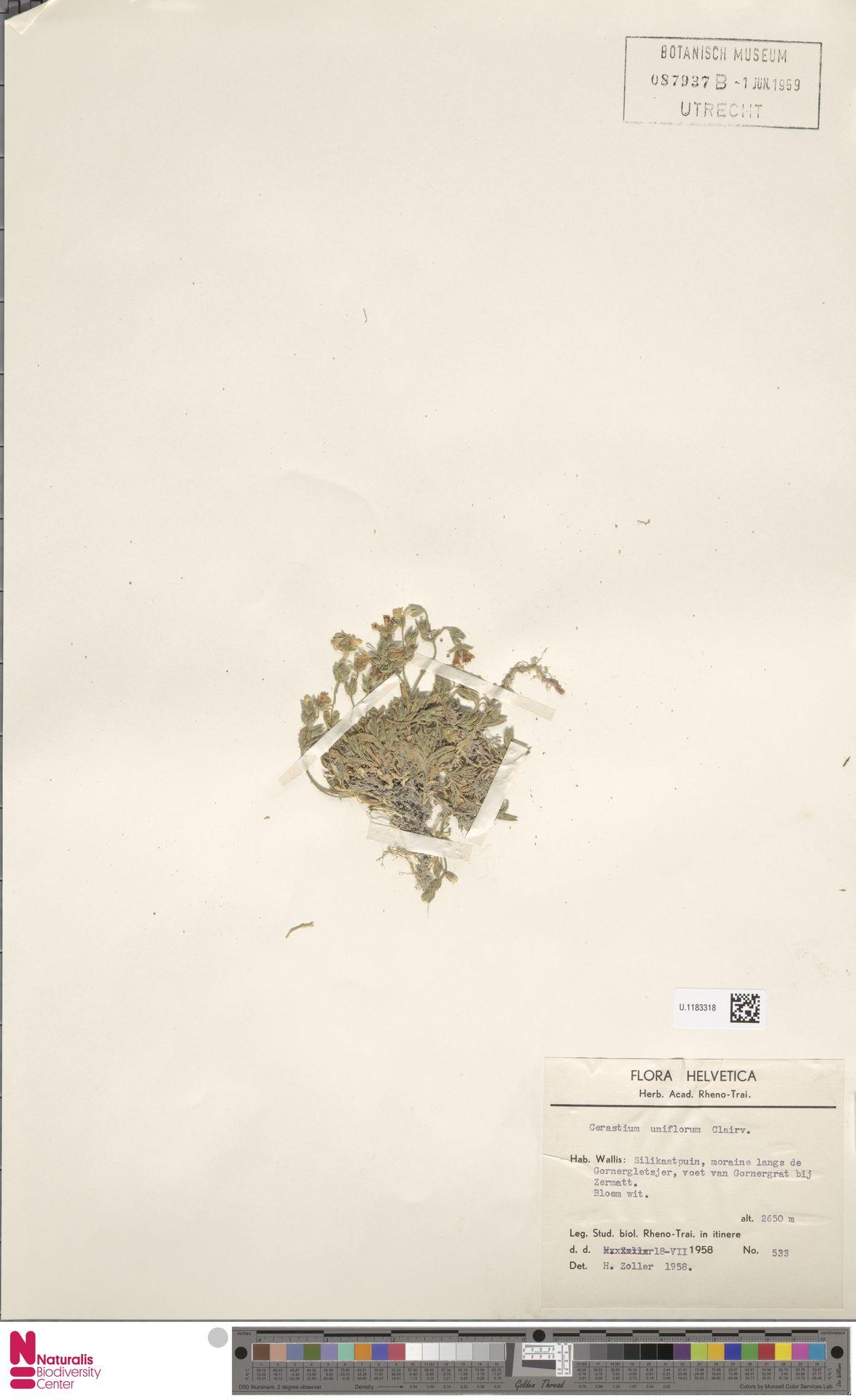 U.1183318 | Cerastium uniflorum Clairv.