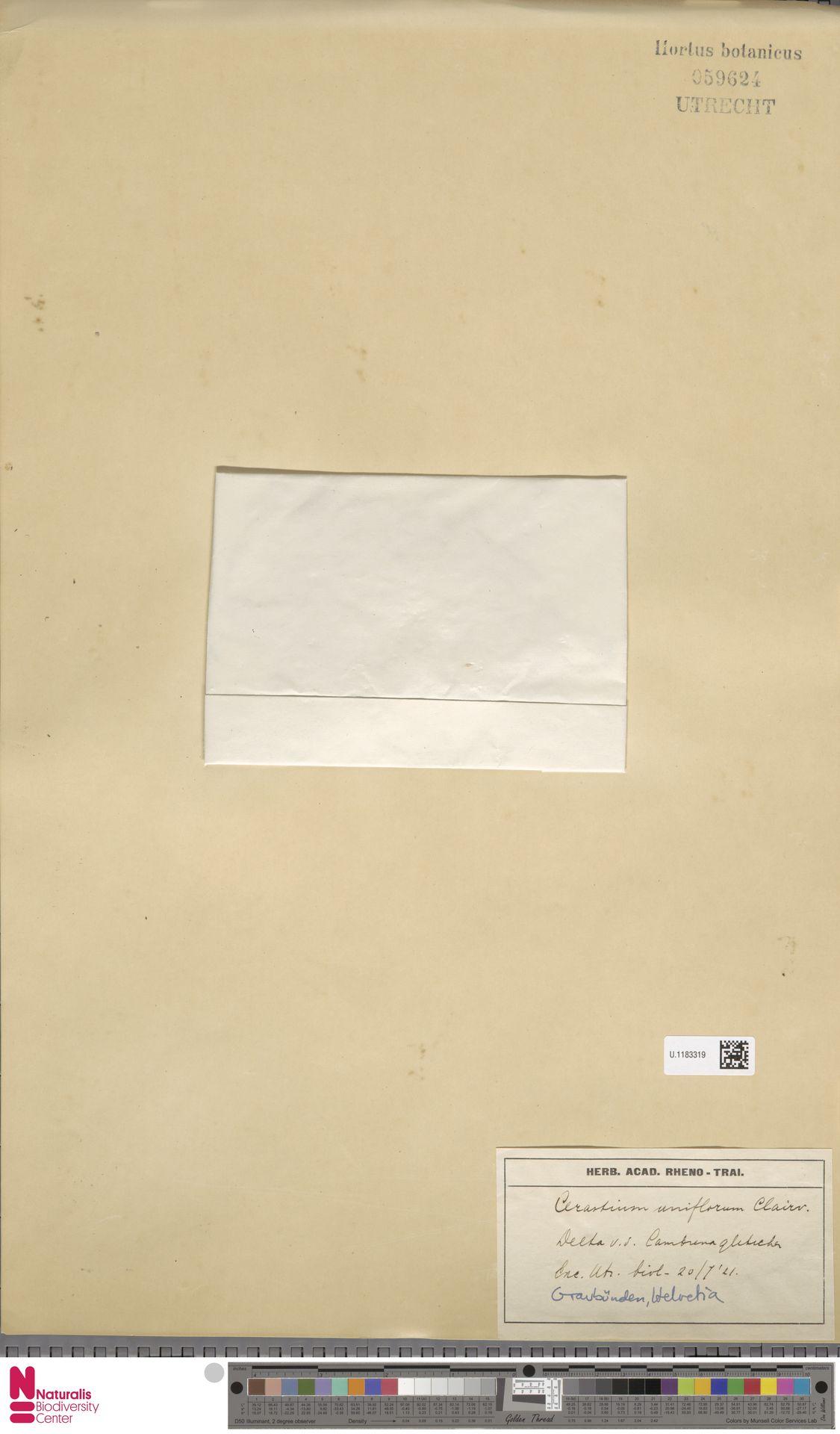 U.1183319 | Cerastium uniflorum Clairv.