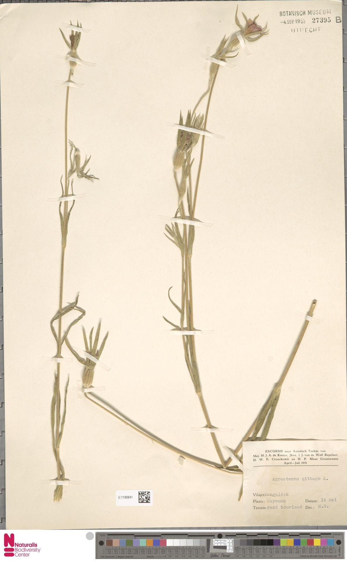 U.1190841 | Agrostemma githago L.