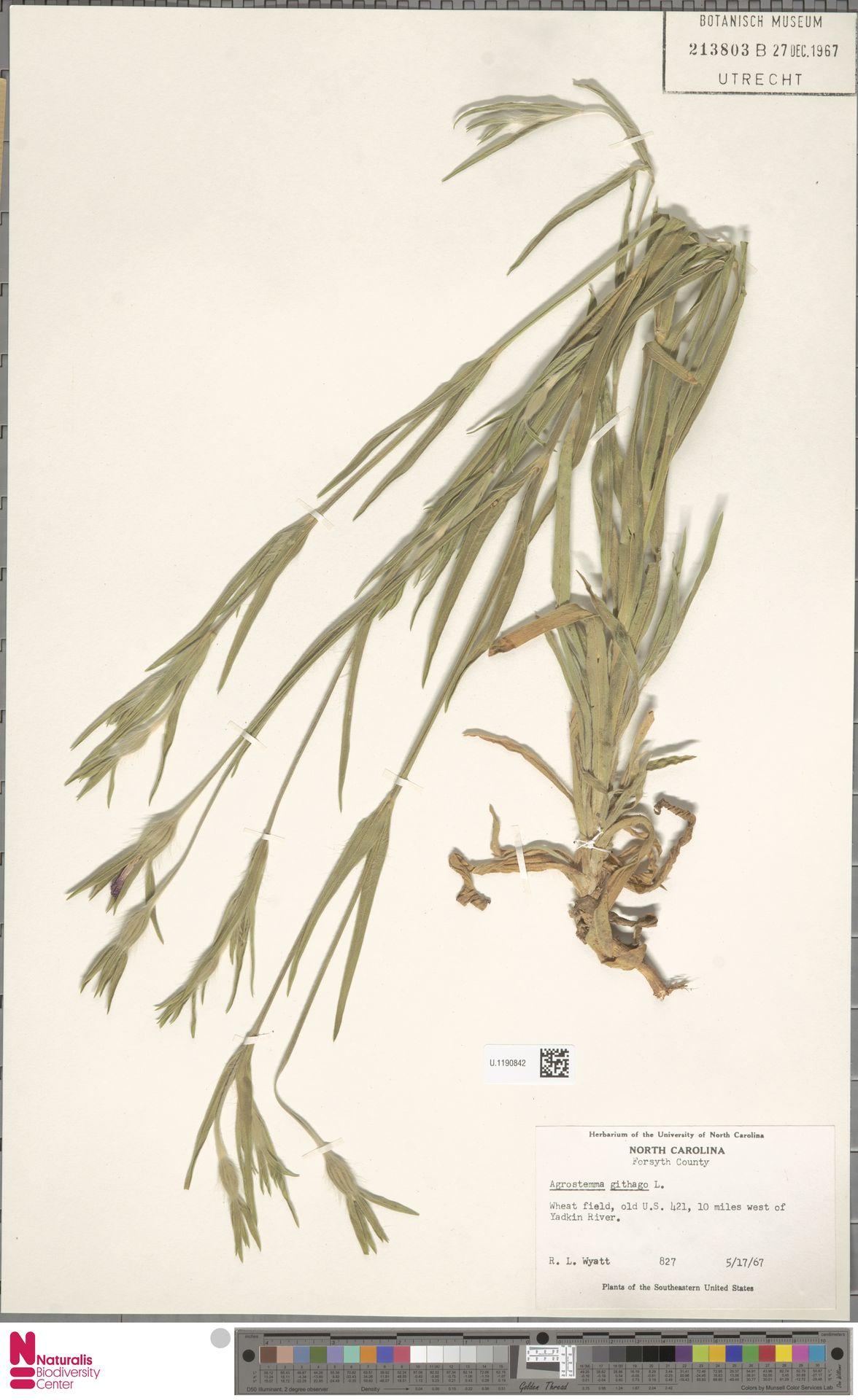 U.1190842 | Agrostemma githago L.