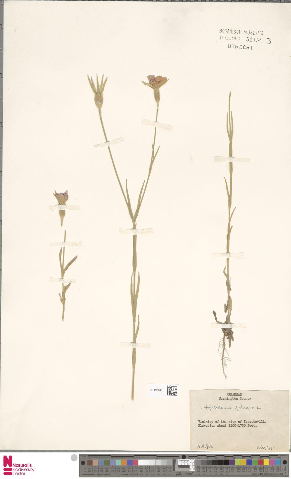 U.1190843 | Agrostemma githago L.