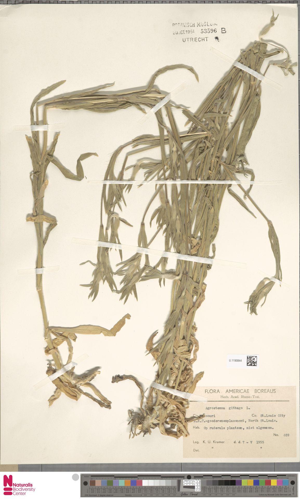 U.1190844   Agrostemma githago L.