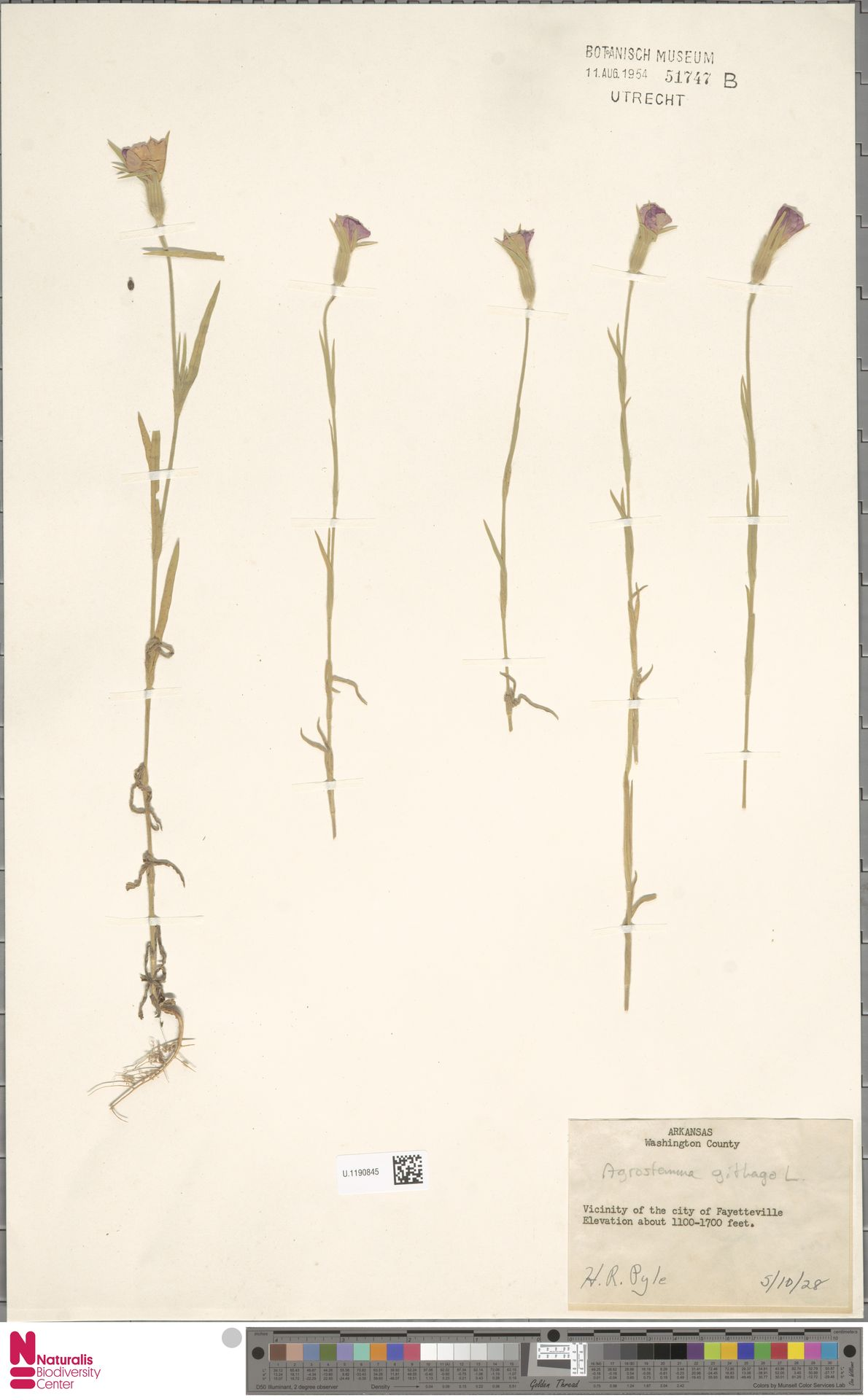 U.1190845 | Agrostemma githago L.