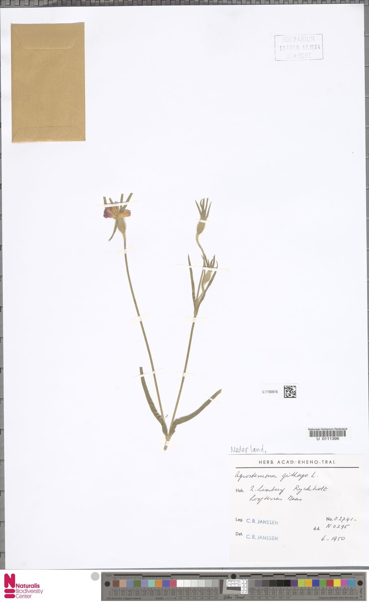 U.1190916 | Agrostemma githago L.