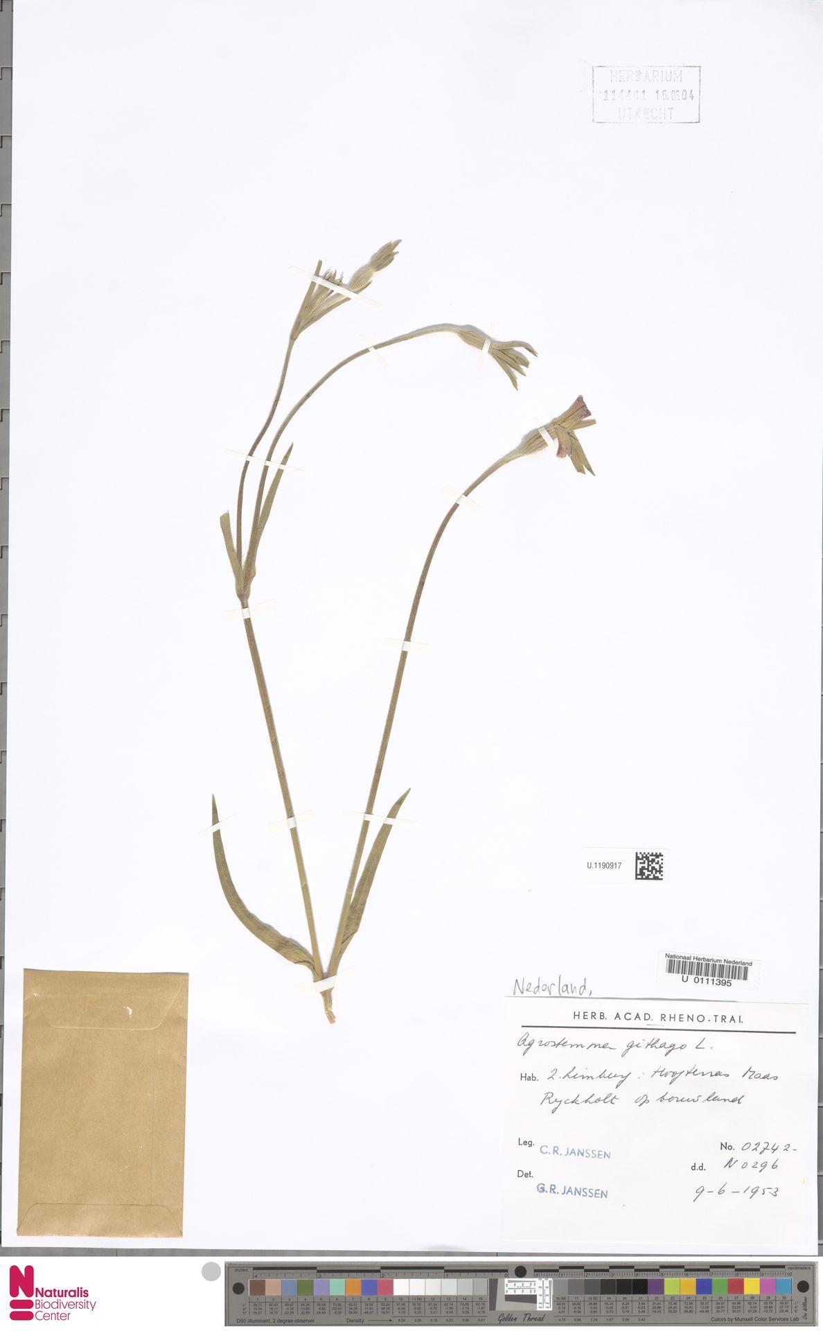U.1190917 | Agrostemma githago L.