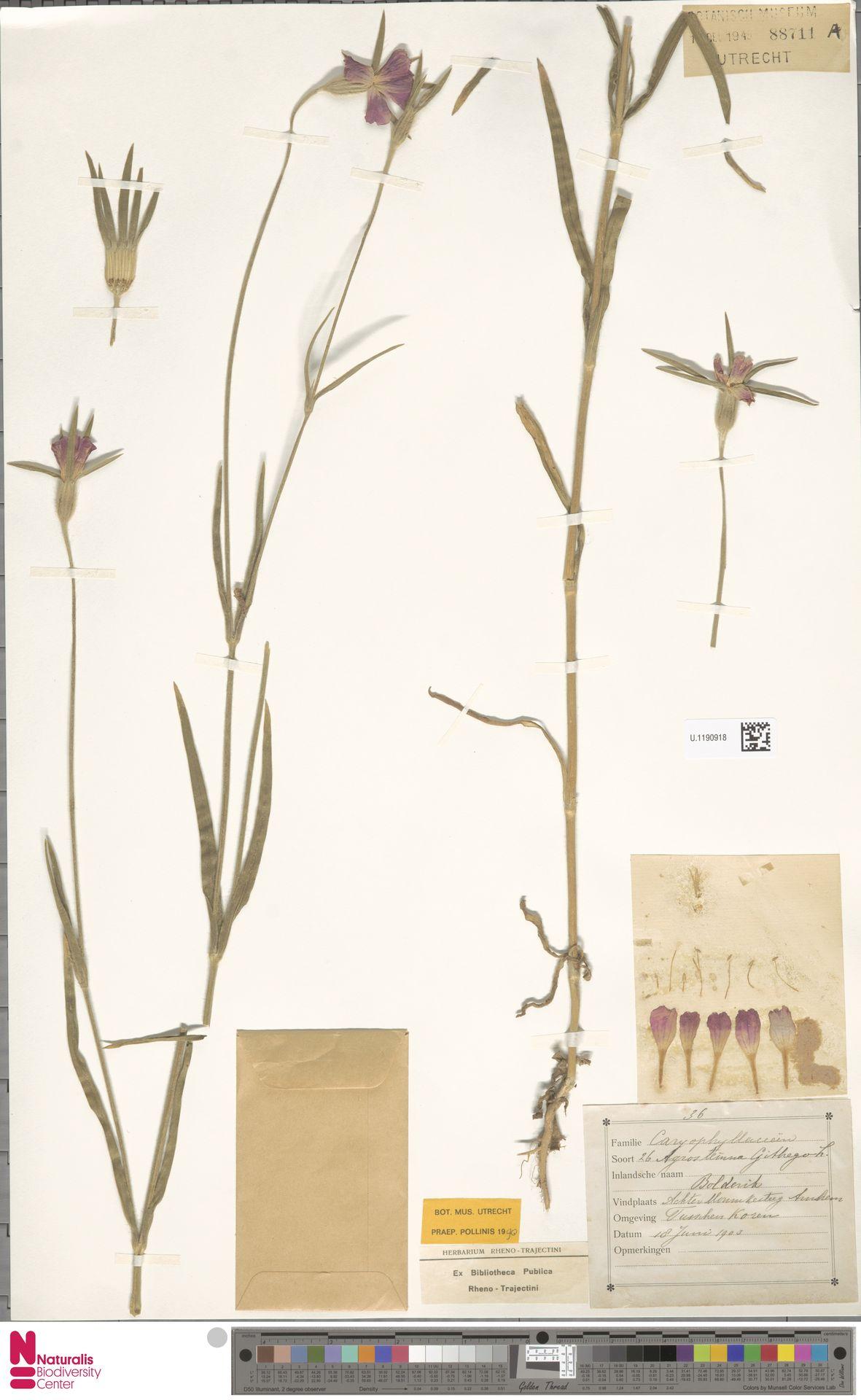 U.1190918 | Agrostemma githago L.