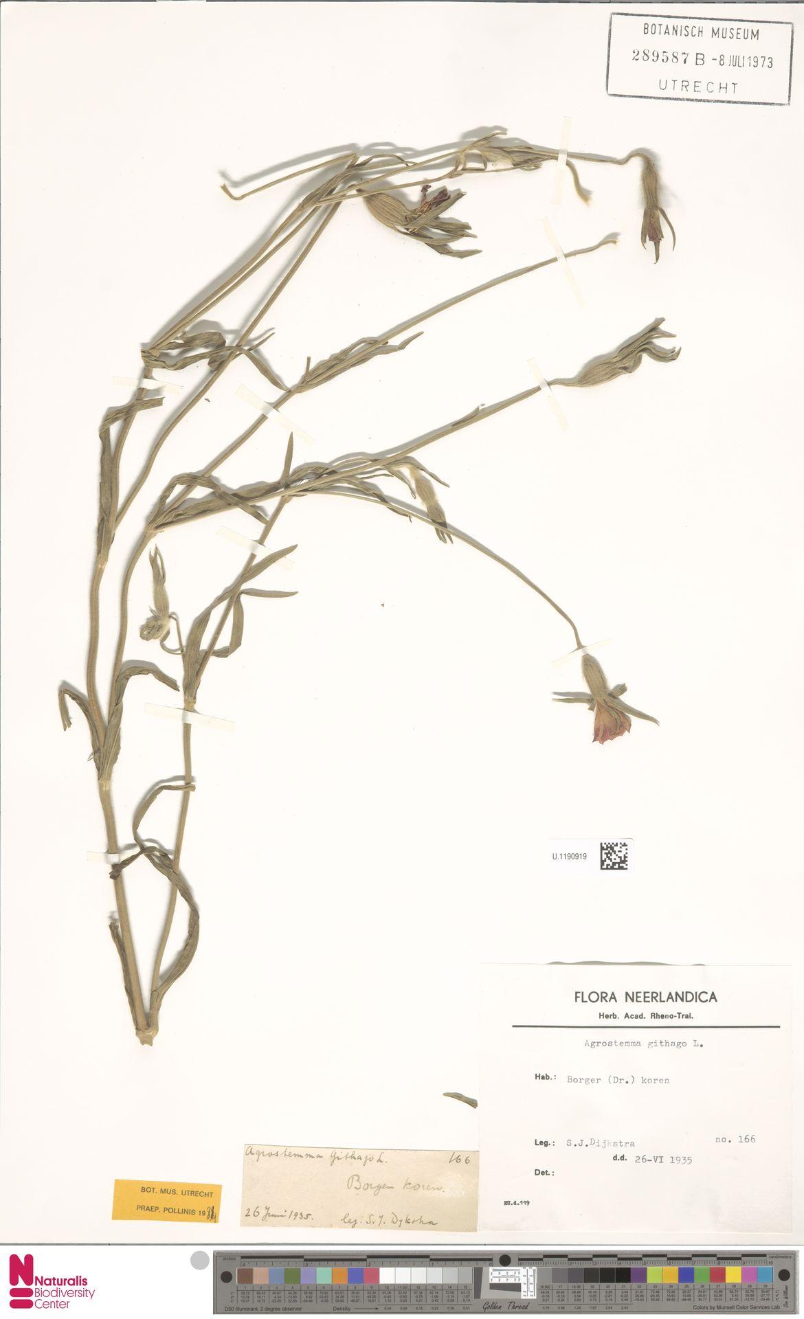 U.1190919 | Agrostemma githago L.
