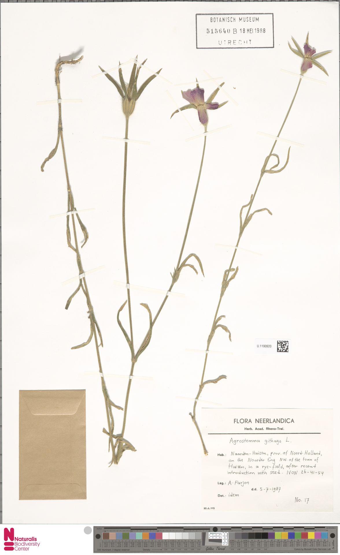 U.1190920 | Agrostemma githago L.