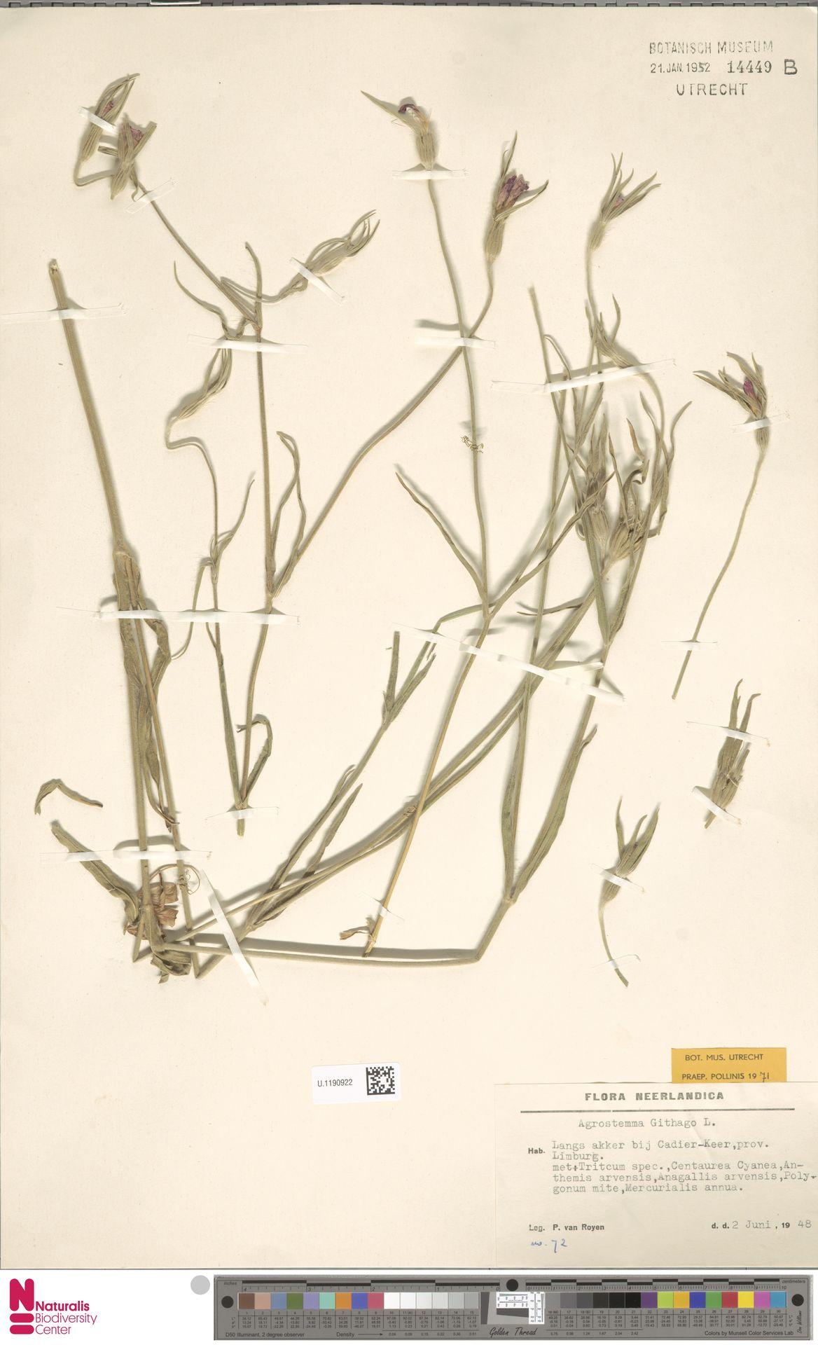 U.1190922   Agrostemma githago L.
