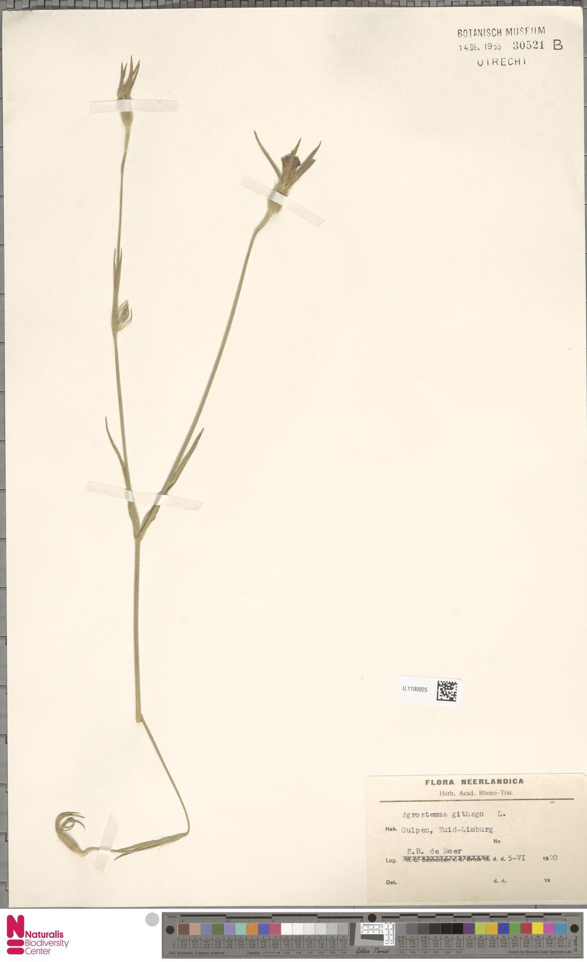 U.1190925   Agrostemma githago L.