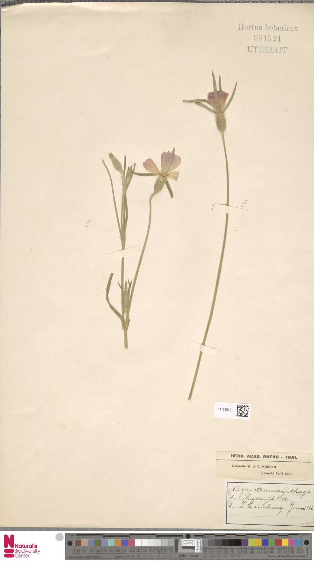 U.1190928 | Agrostemma githago L.