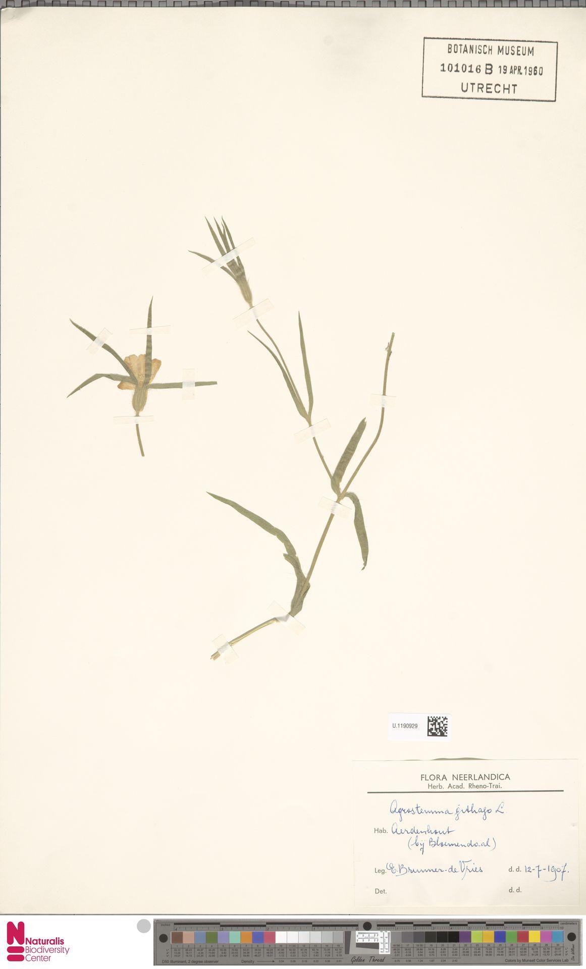 U.1190929 | Agrostemma githago L.