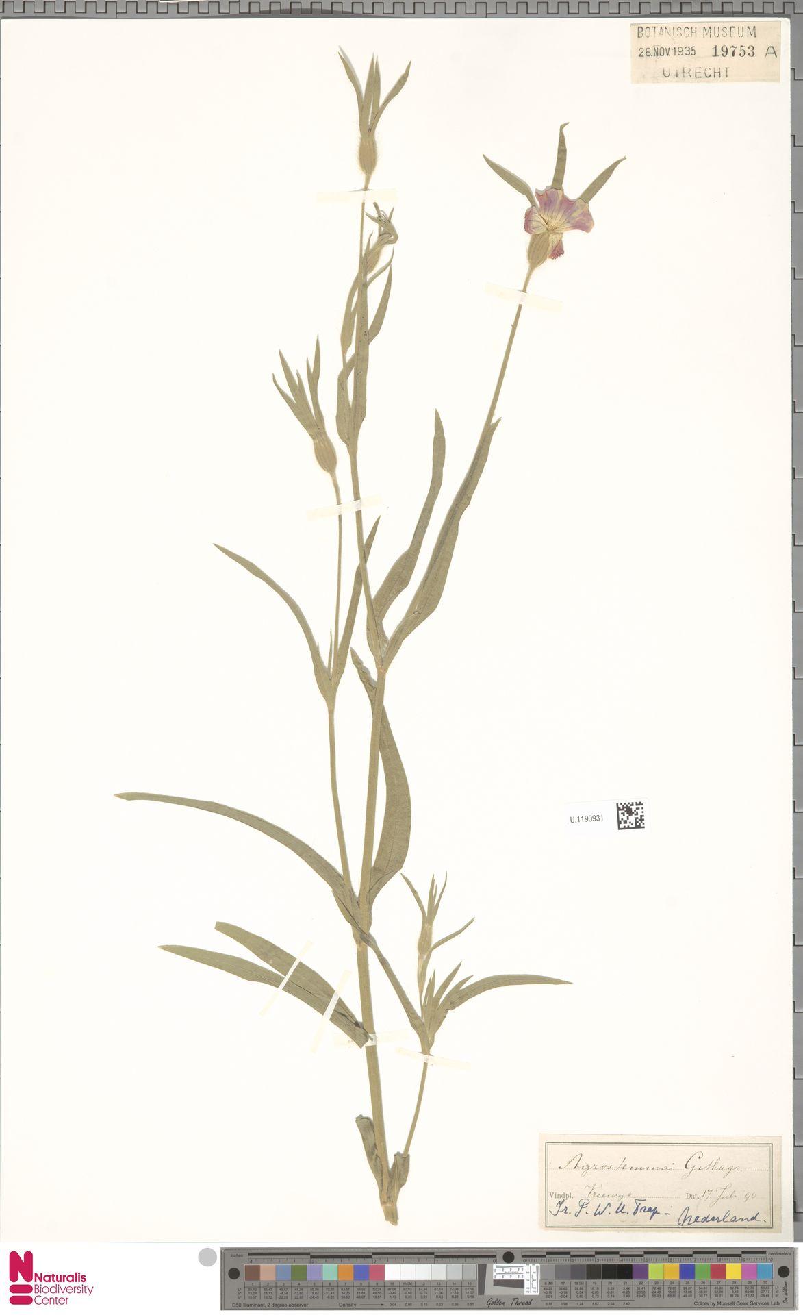 U.1190931   Agrostemma githago L.