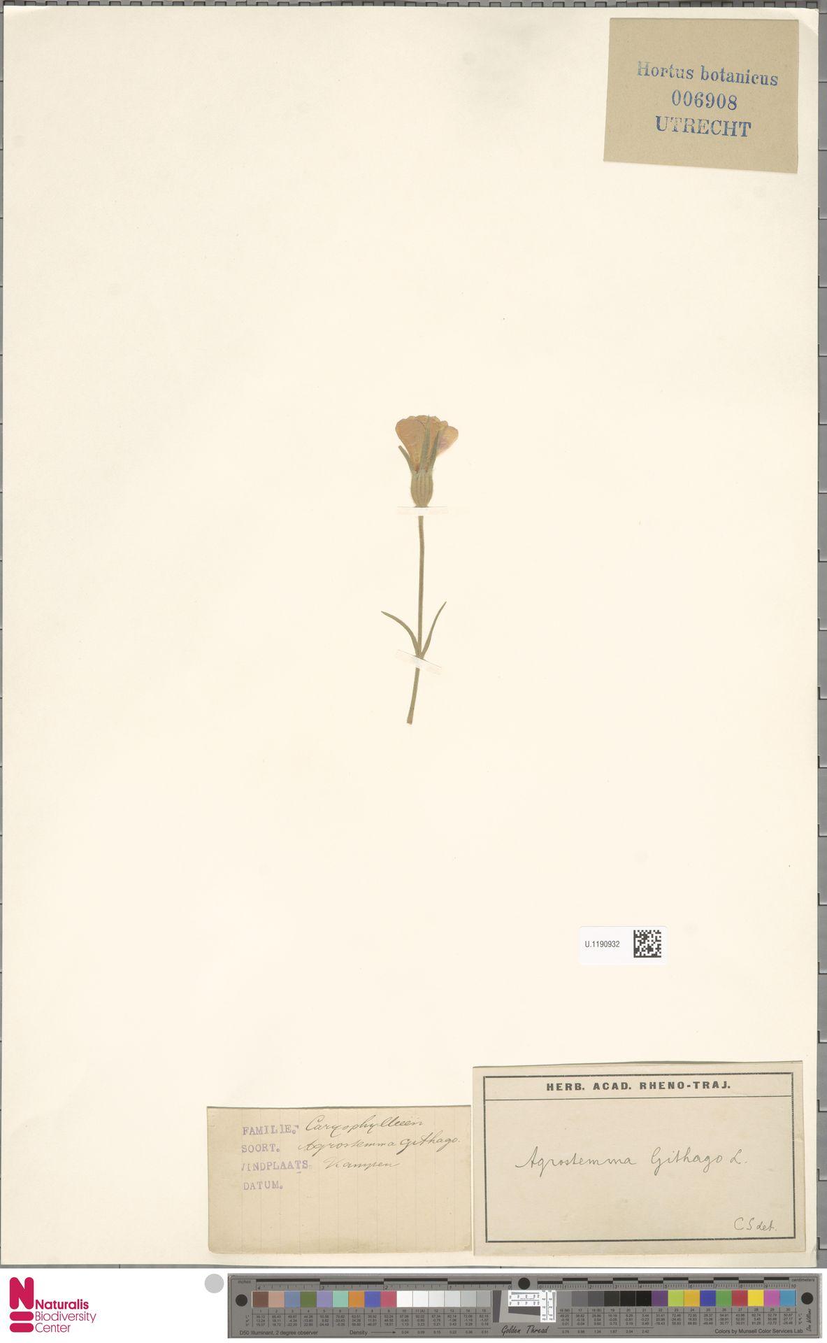 U.1190932 | Agrostemma githago L.