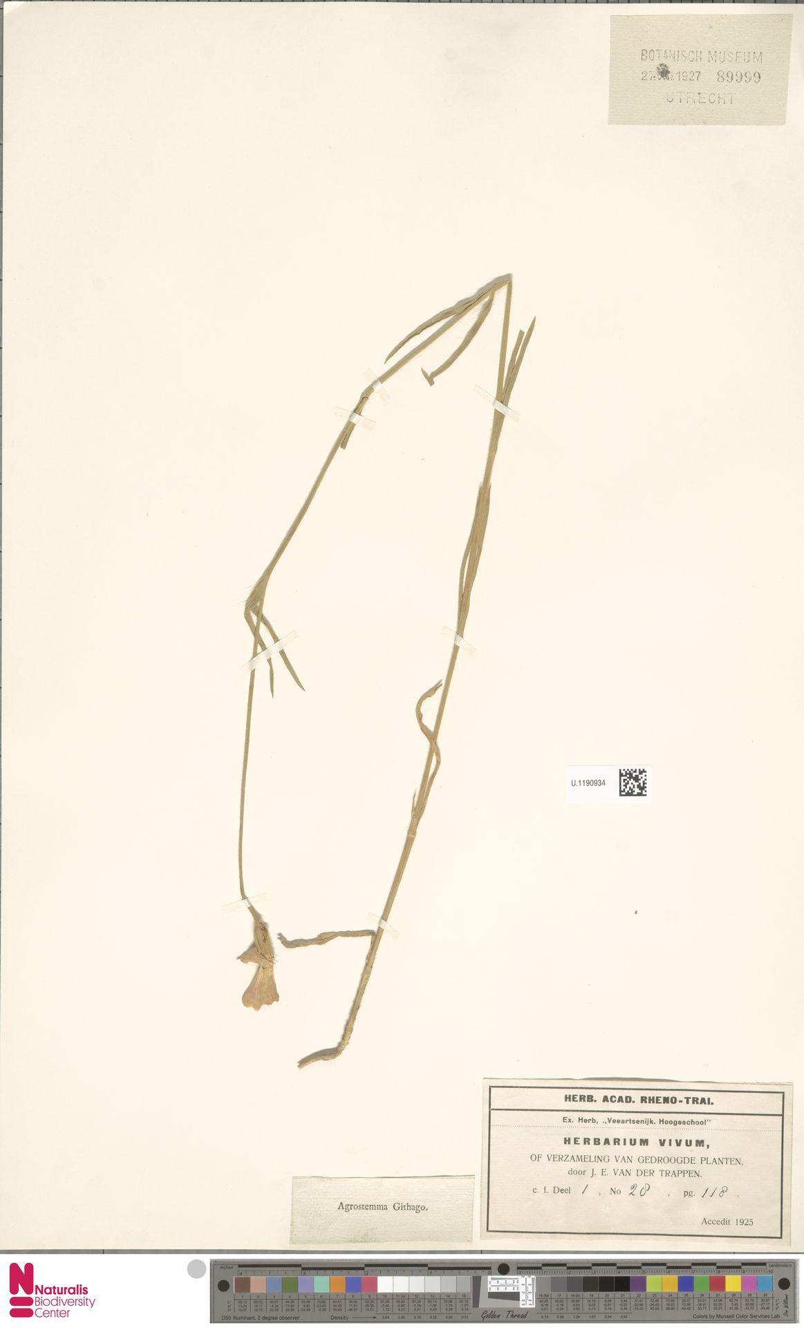 U.1190934 | Agrostemma githago L.