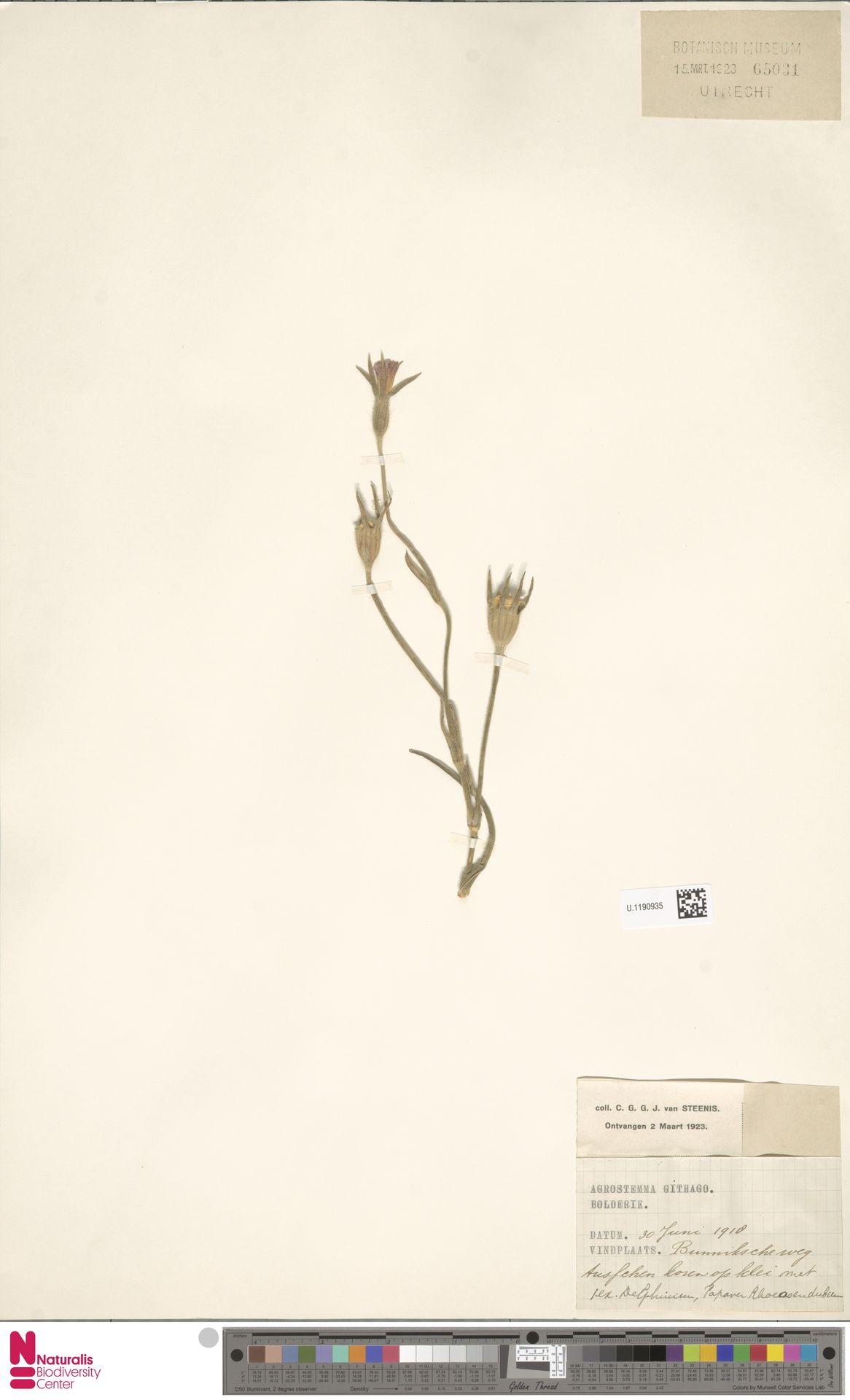 U.1190935   Agrostemma githago L.