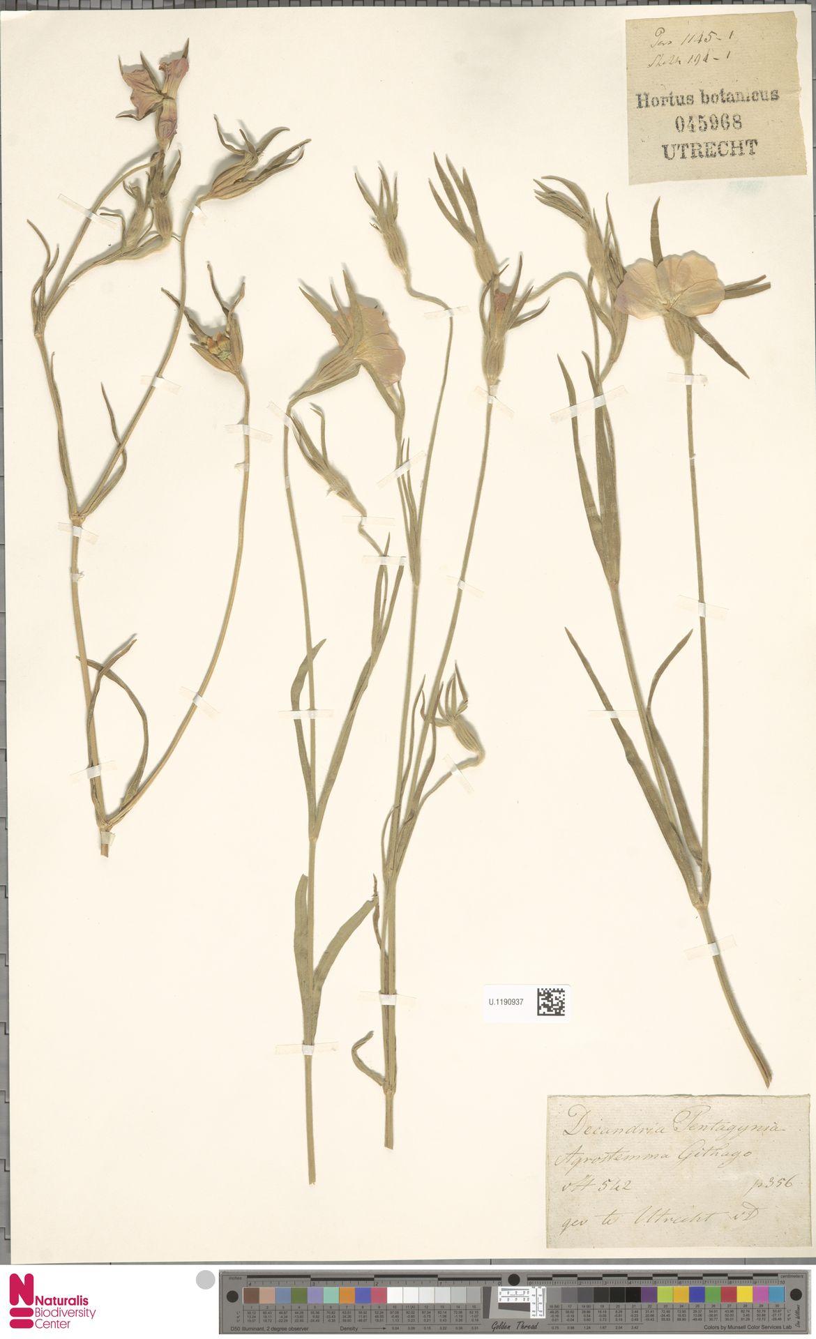 U.1190937 | Agrostemma githago L.