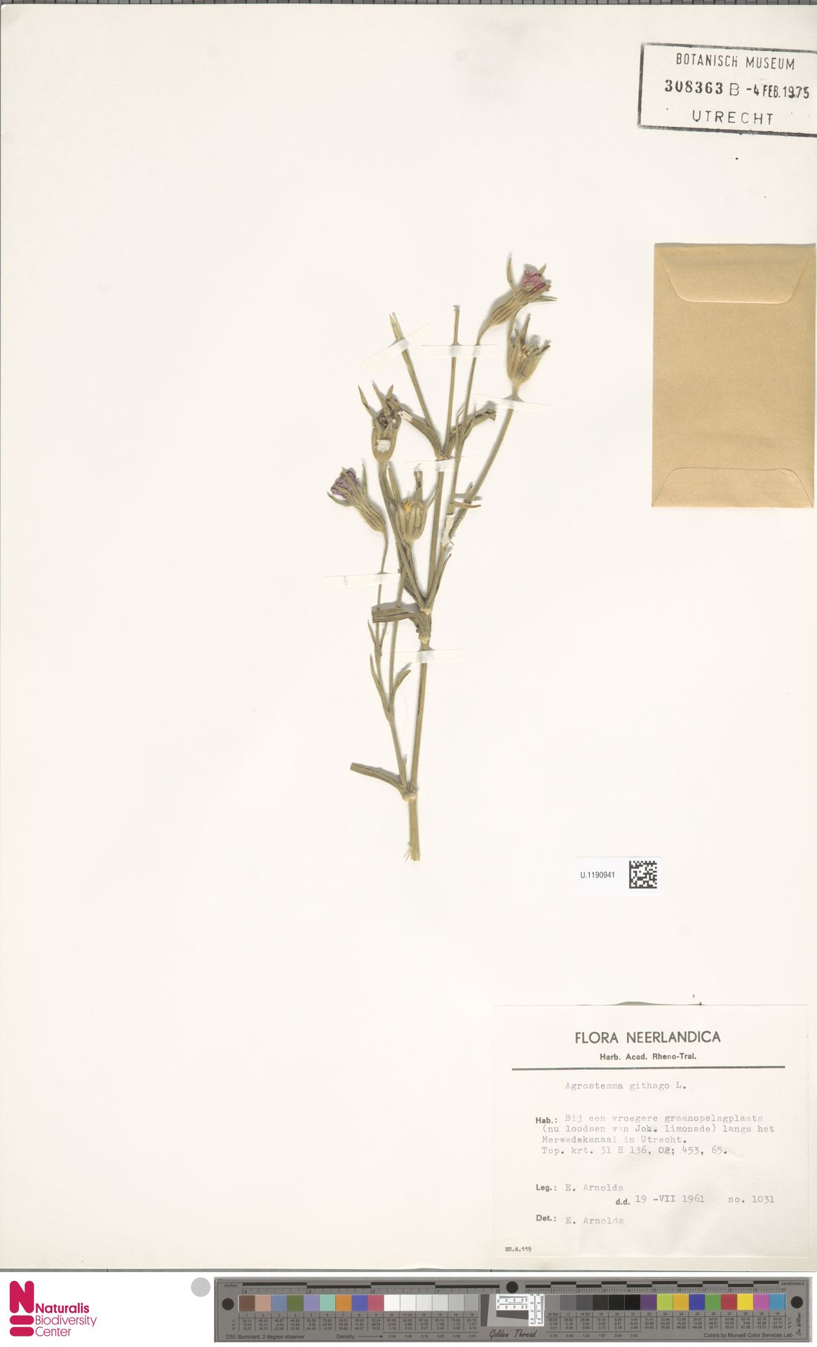 U.1190941 | Agrostemma githago L.