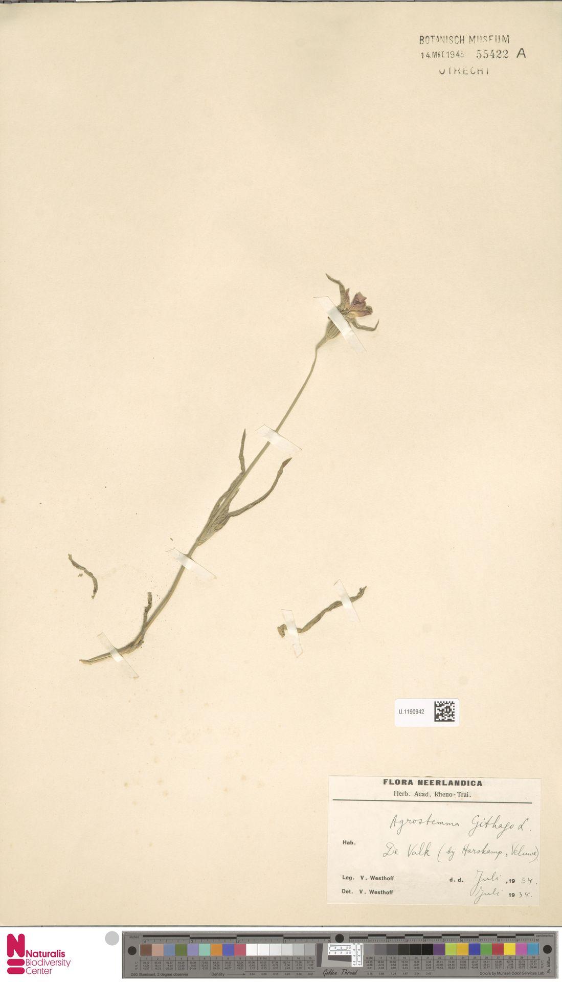 U.1190942 | Agrostemma githago L.