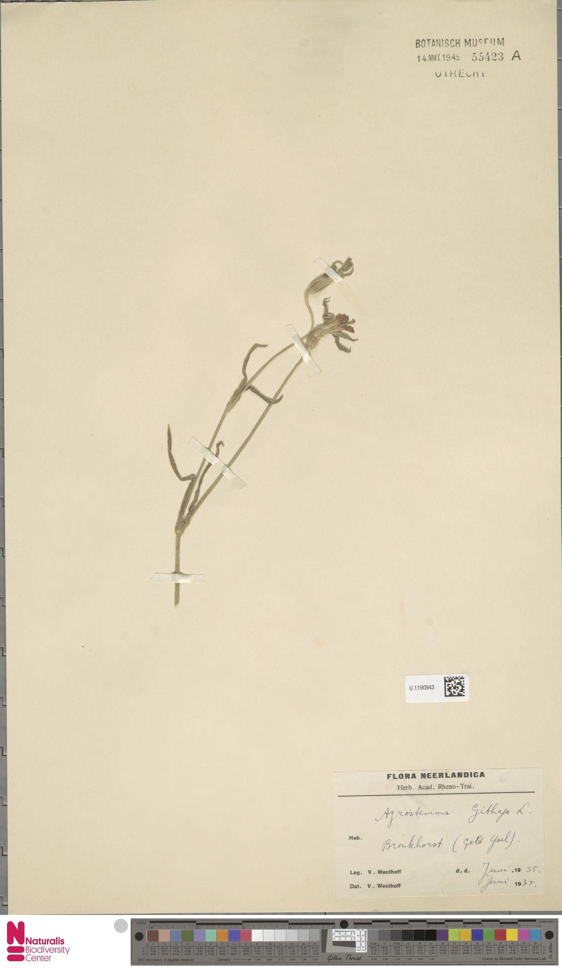 U.1190943 | Agrostemma githago L.