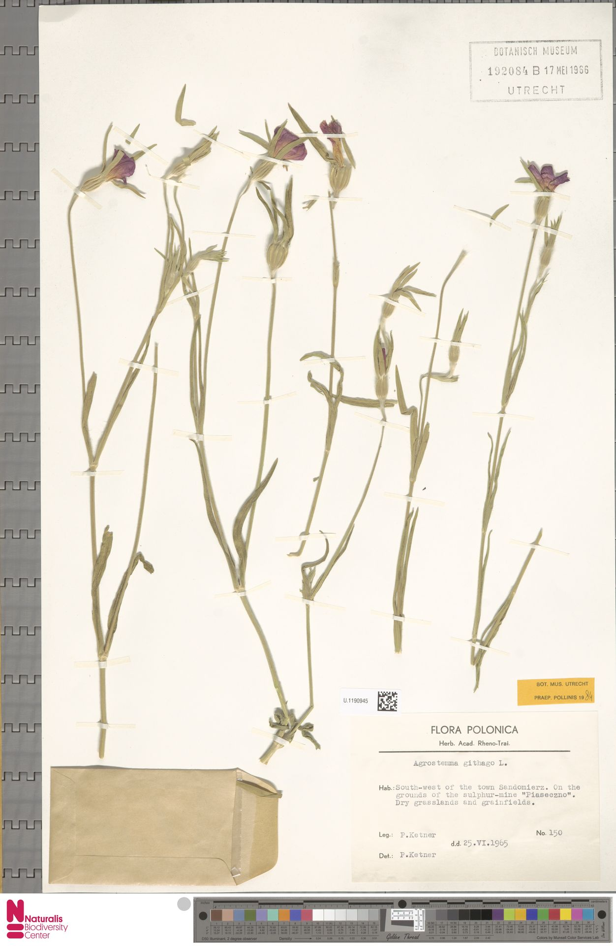 U.1190945 | Agrostemma githago L.