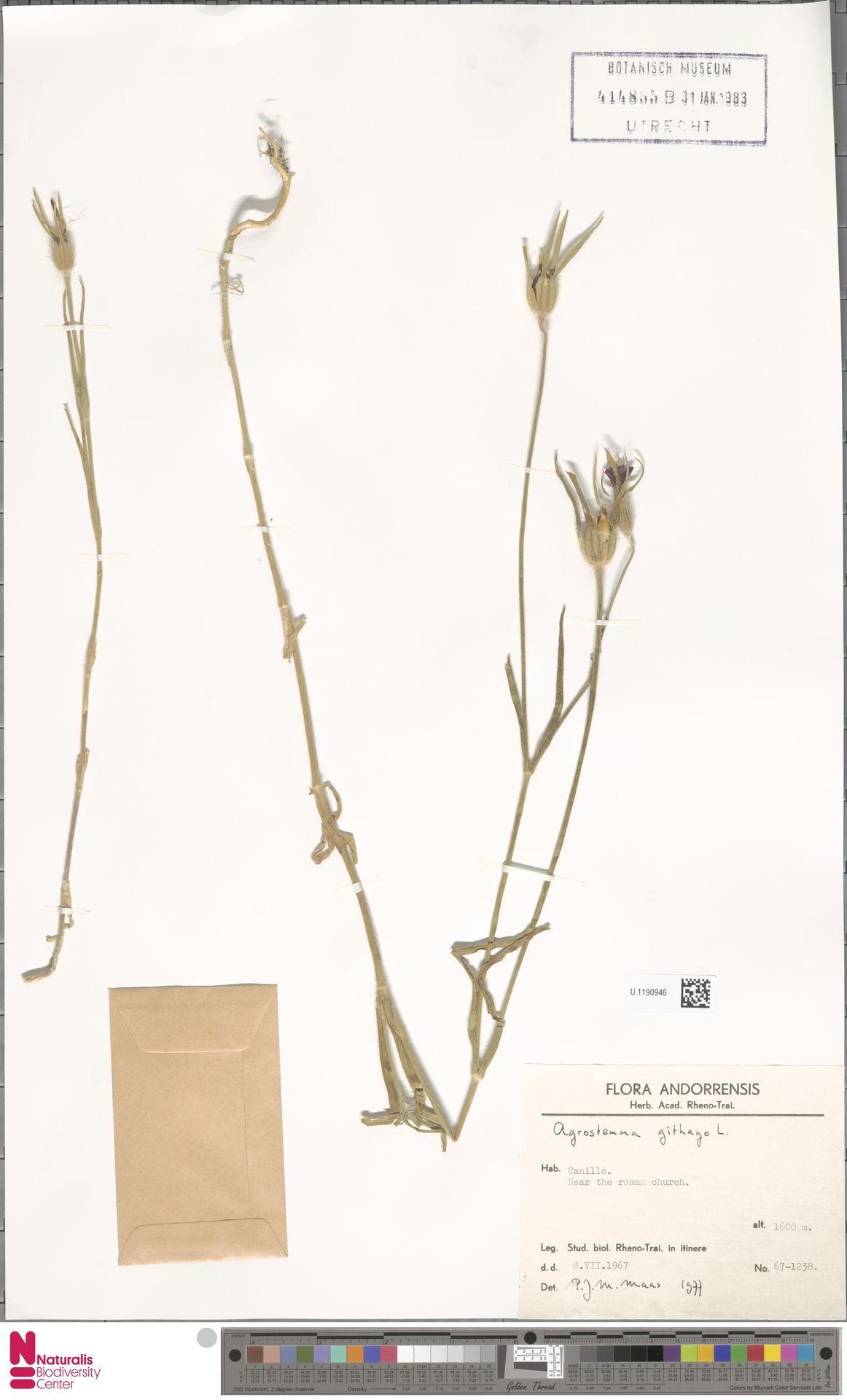 U.1190946 | Agrostemma githago L.