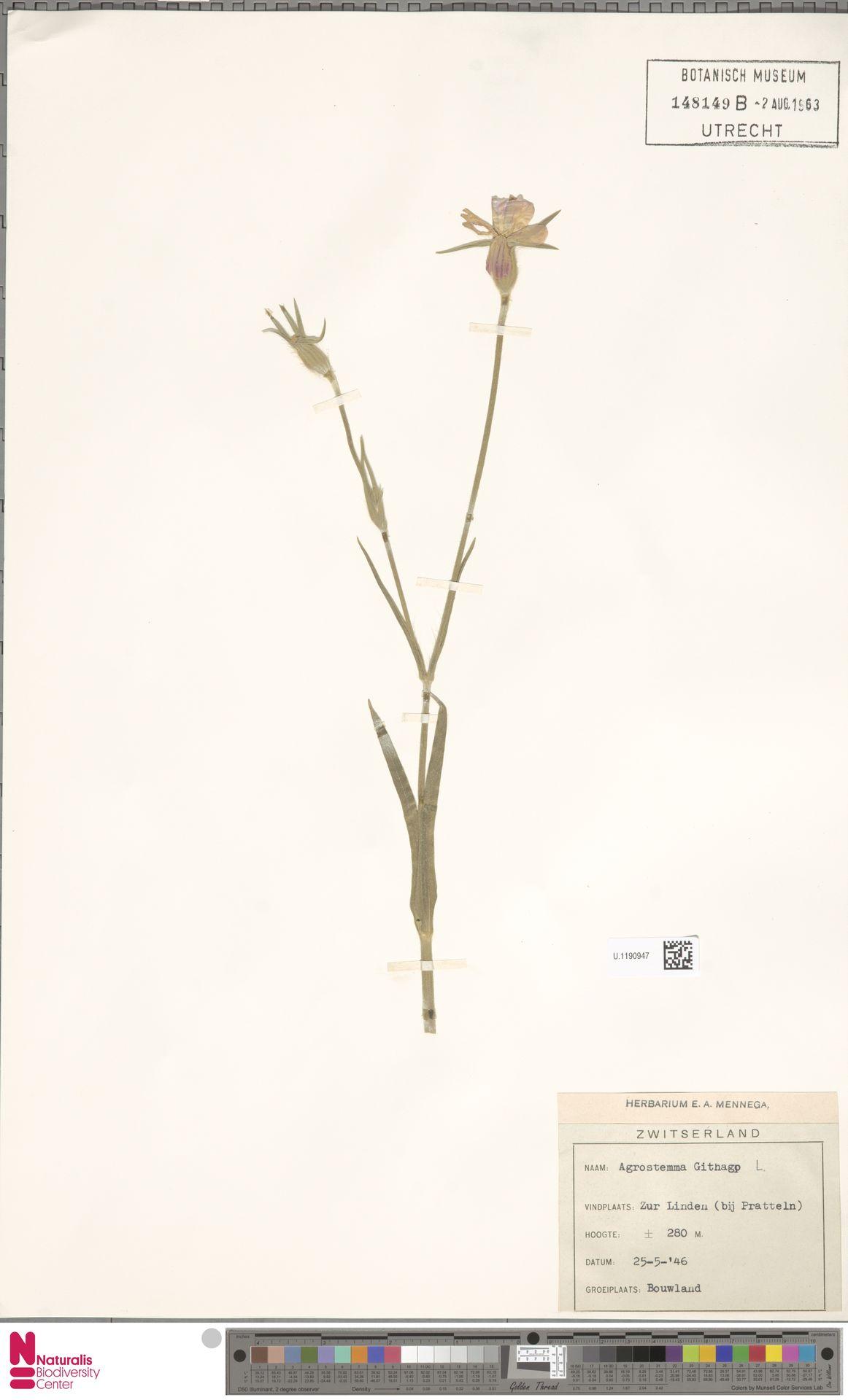 U.1190947 | Agrostemma githago L.