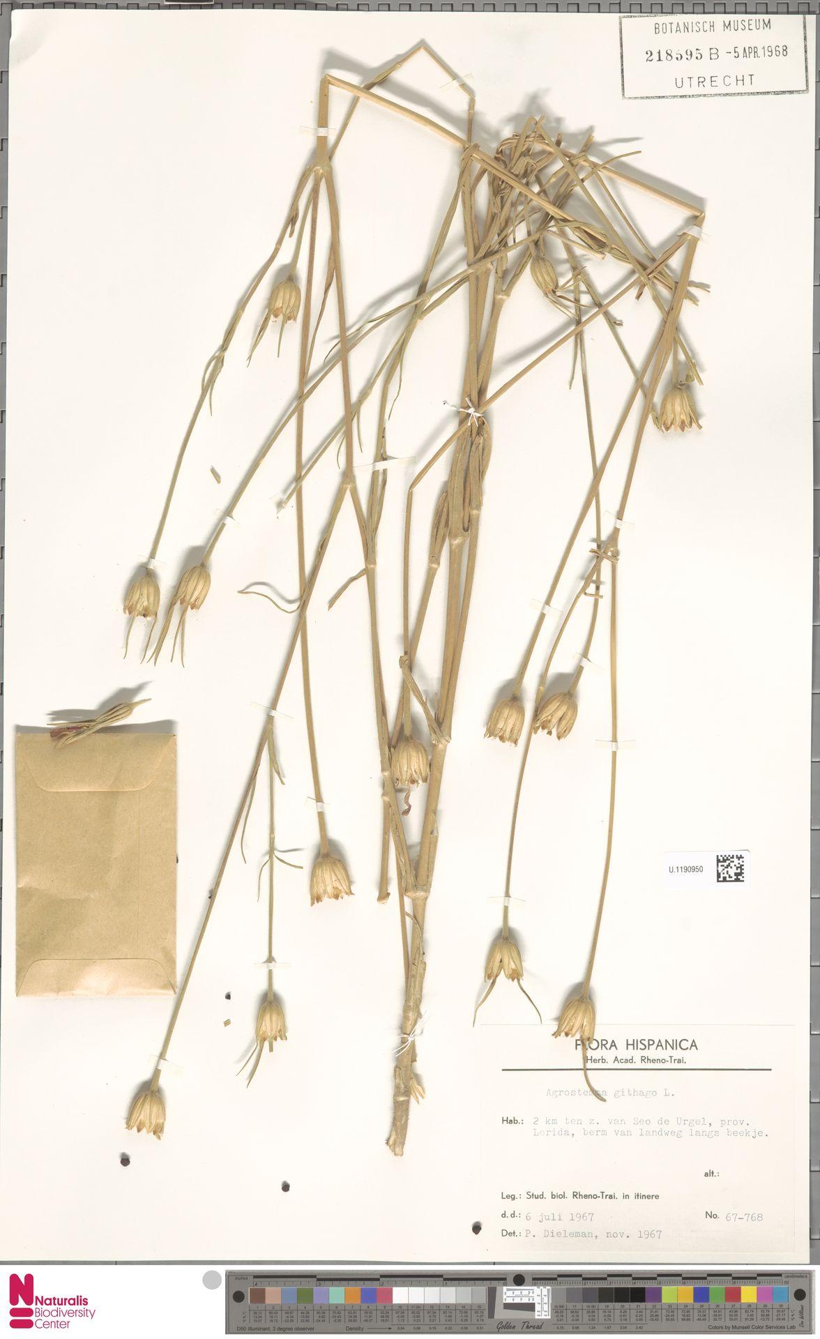 U.1190950 | Agrostemma githago L.