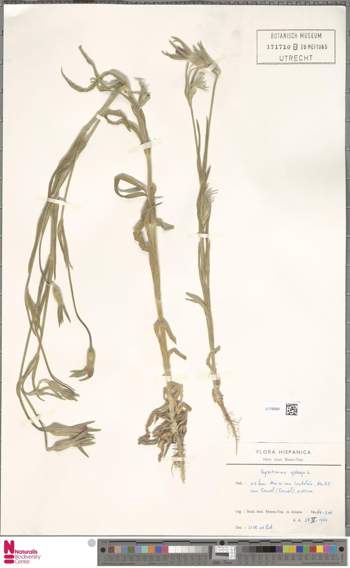 U.1190951 | Agrostemma githago L.