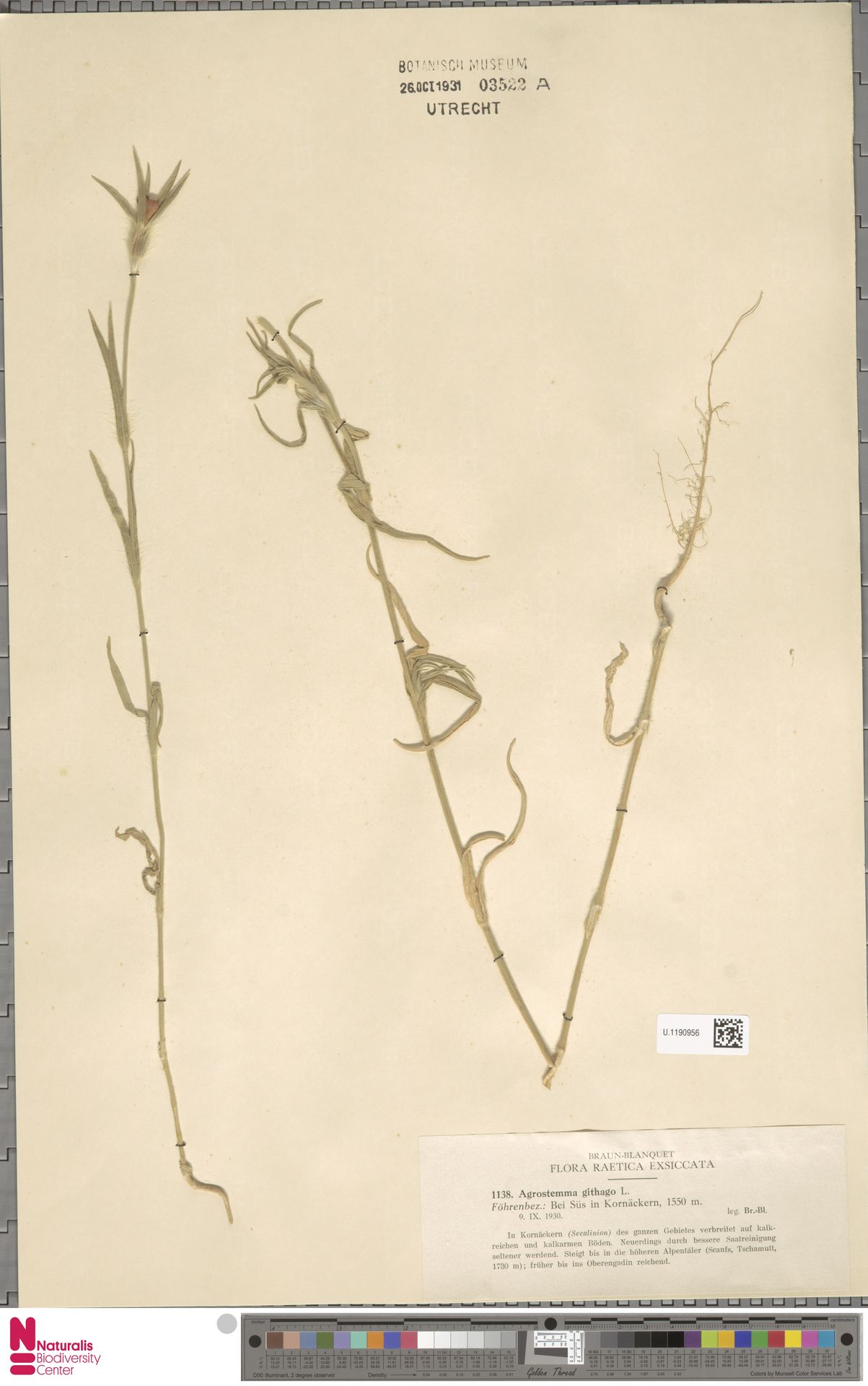 U.1190956 | Agrostemma githago L.