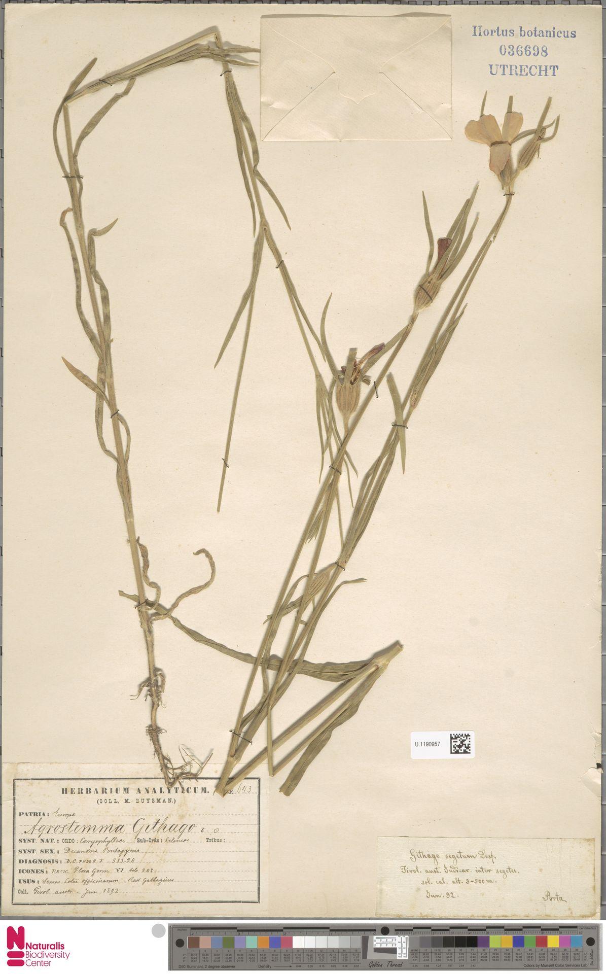 U.1190957 | Agrostemma githago L.