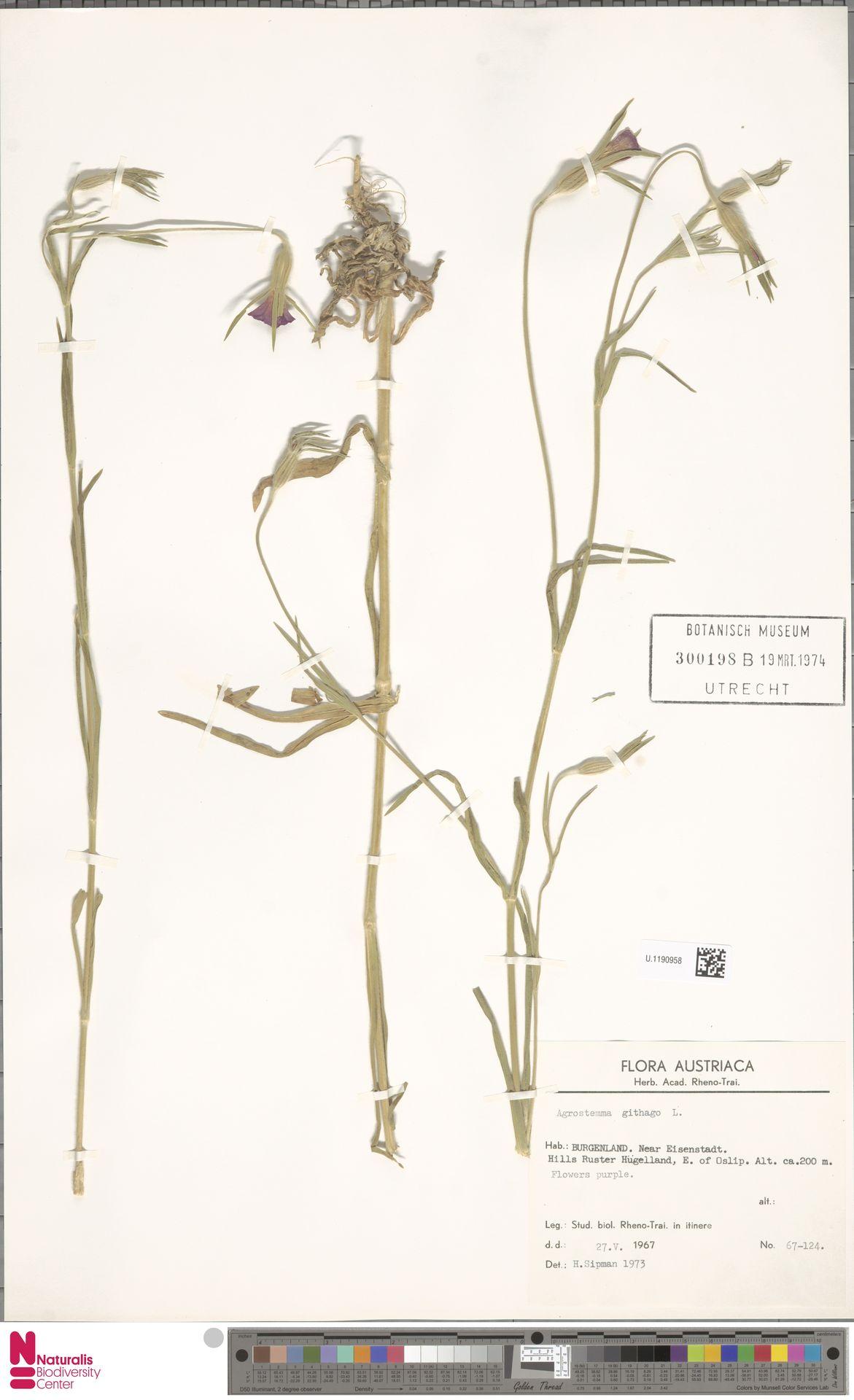 U.1190958 | Agrostemma githago L.