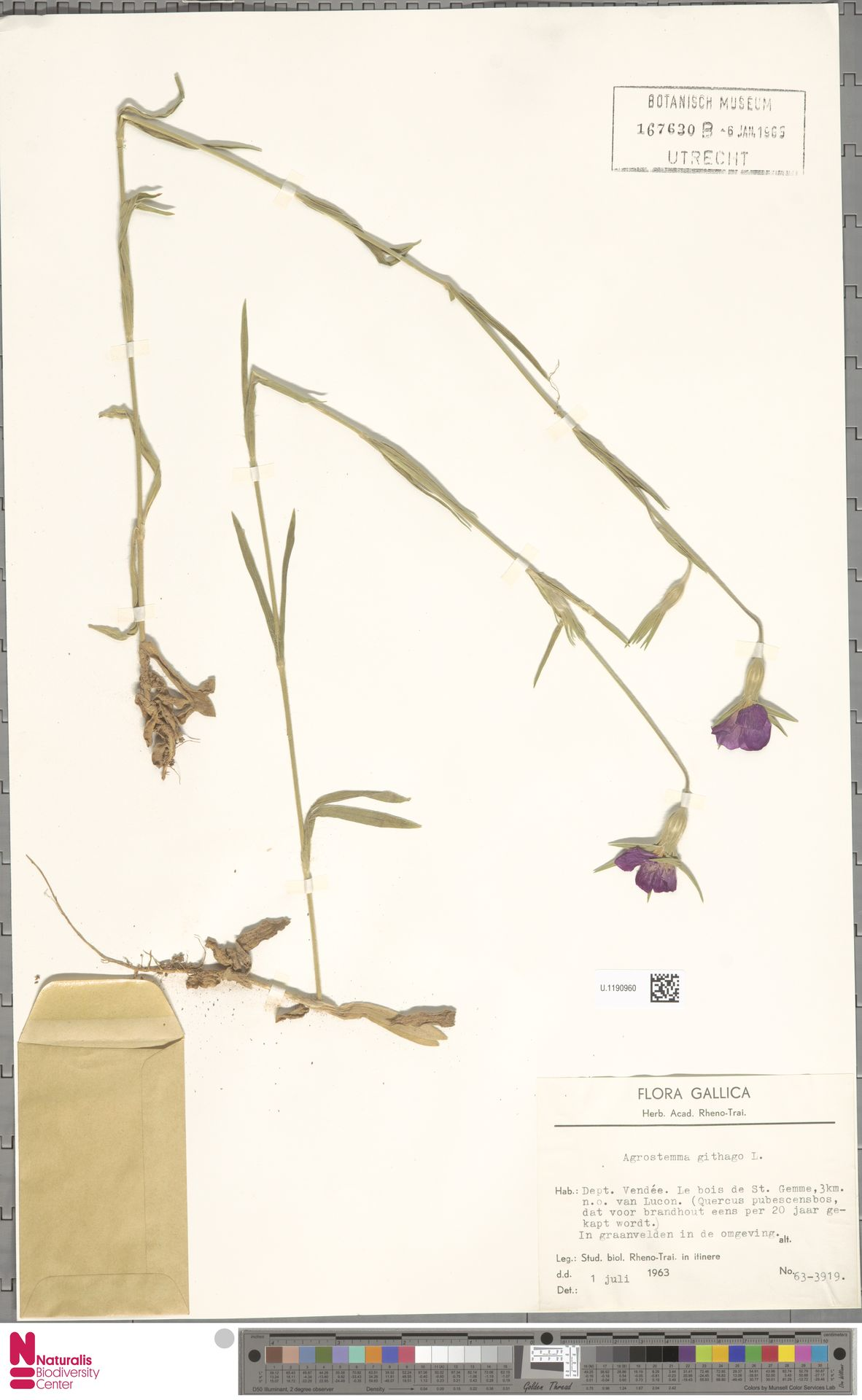 U.1190960 | Agrostemma githago L.