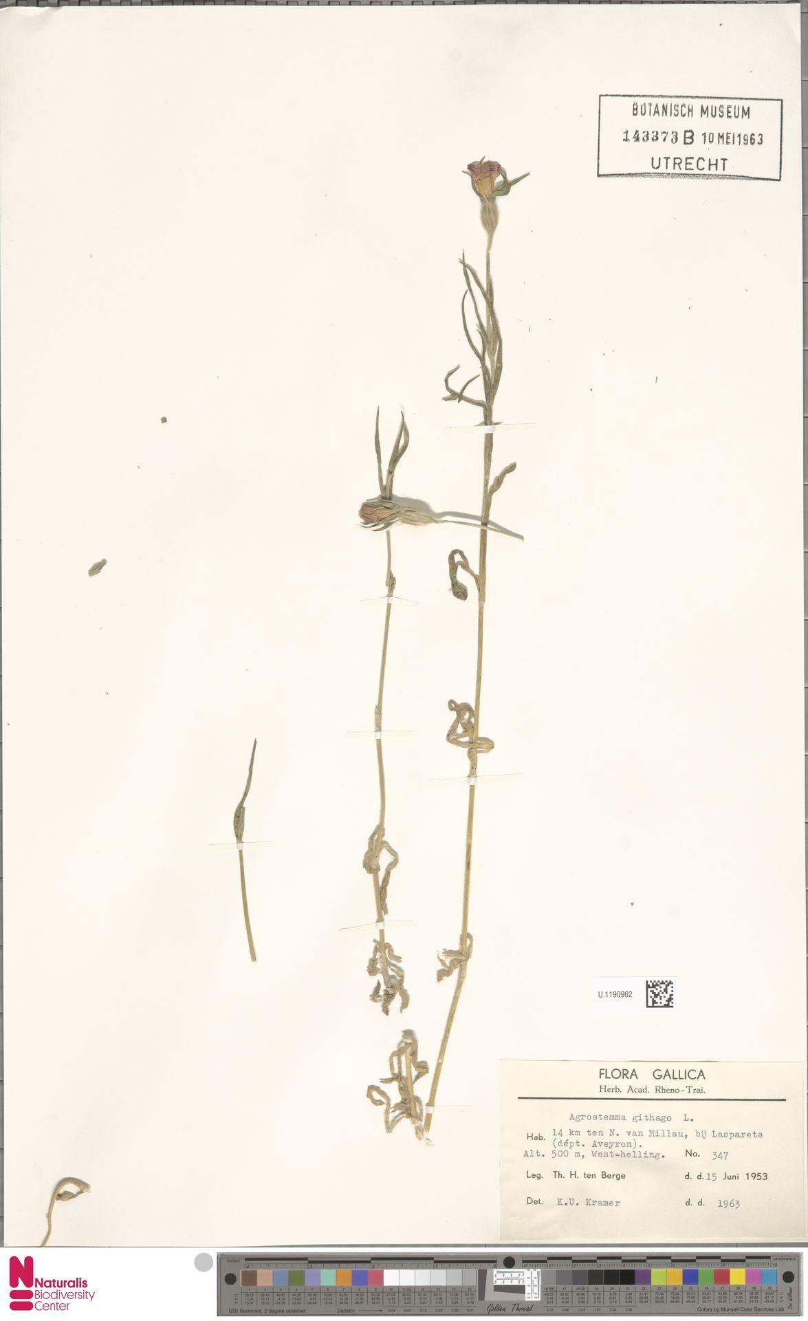U.1190962   Agrostemma githago L.