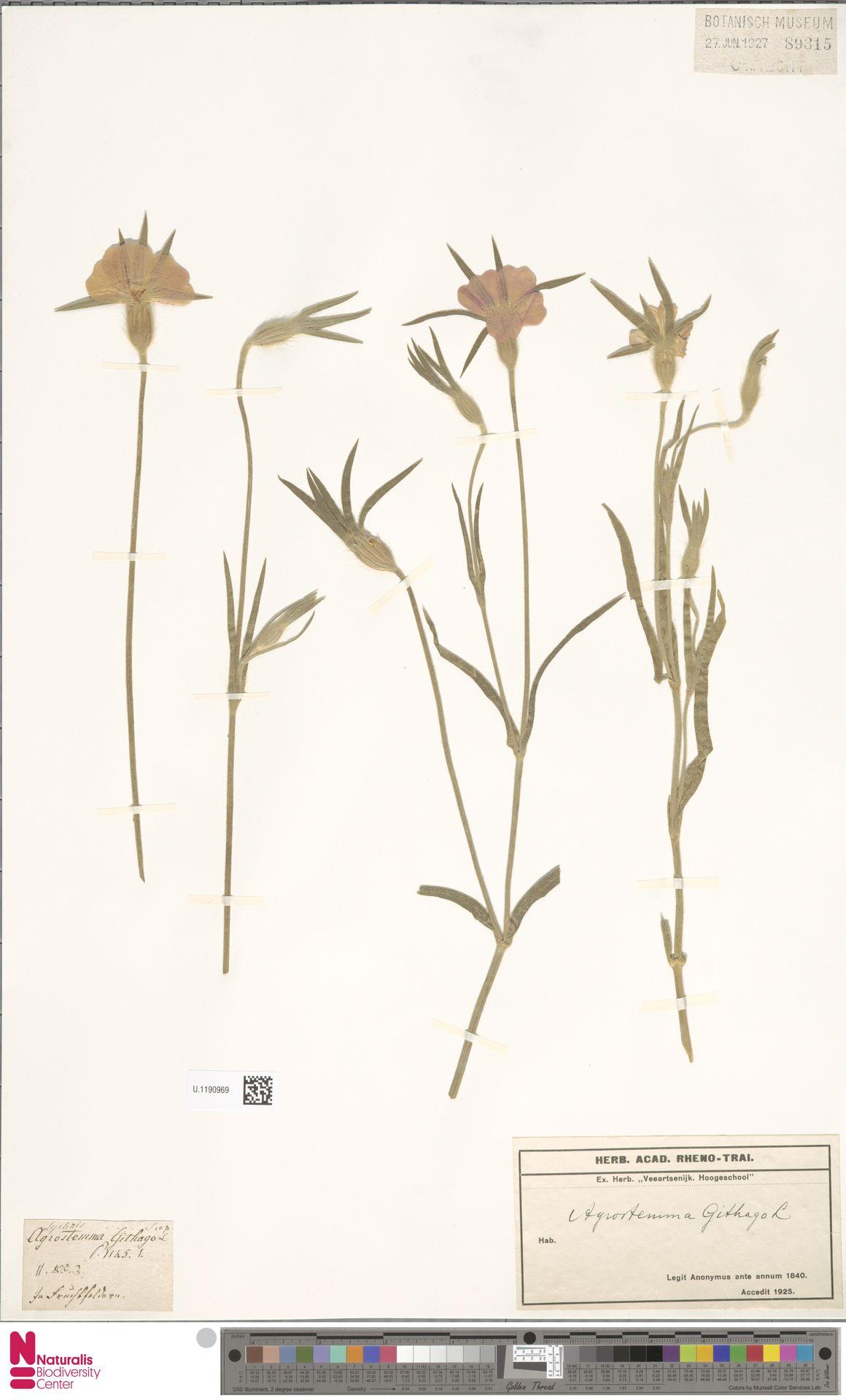 U.1190969 | Agrostemma githago L.