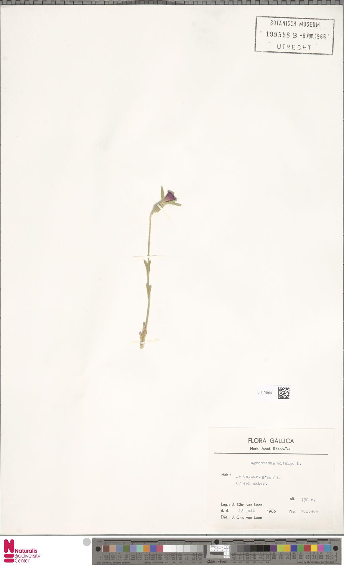 U.1190970 | Agrostemma githago L.