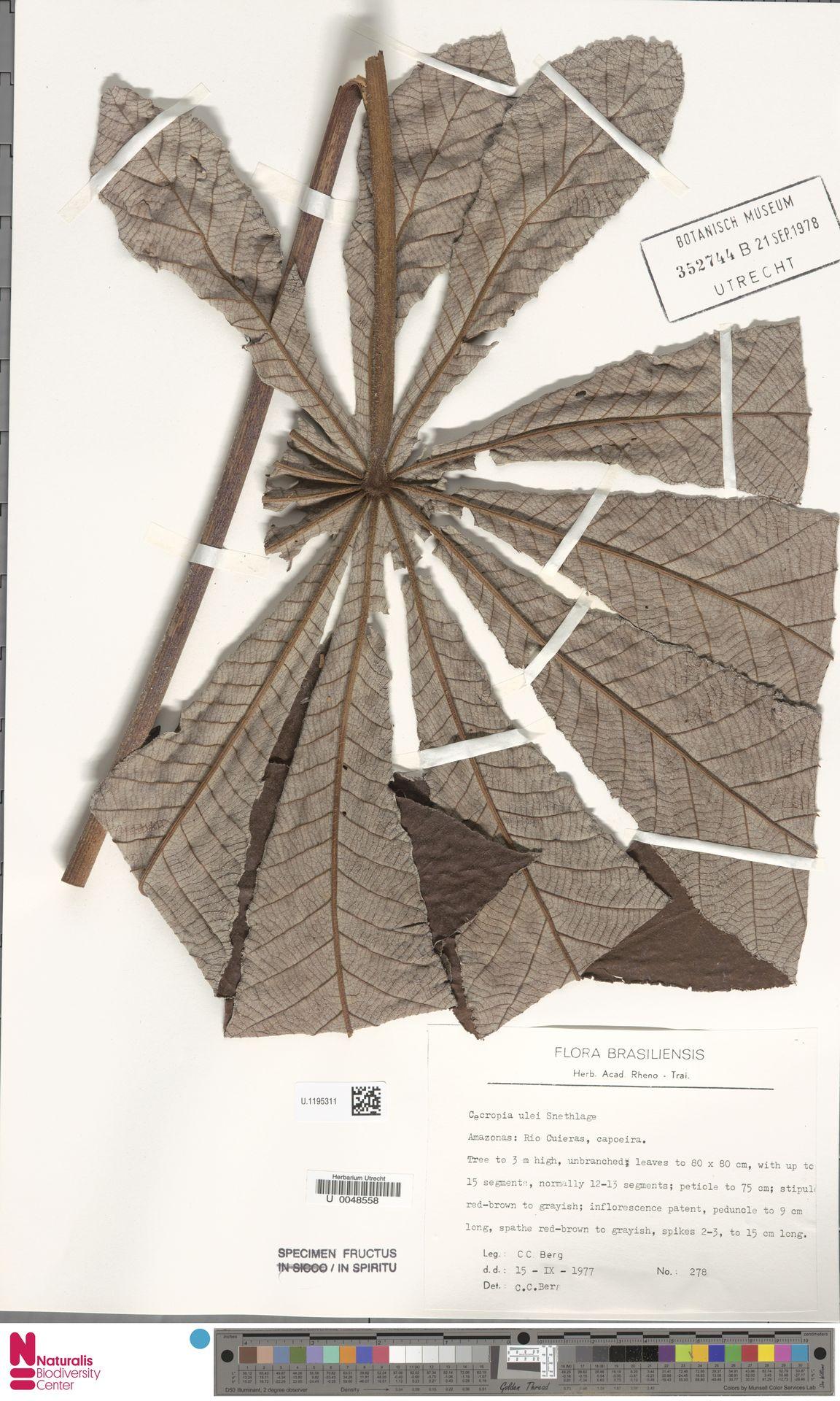 U.1195311 | Cecropia ulei Snethl.