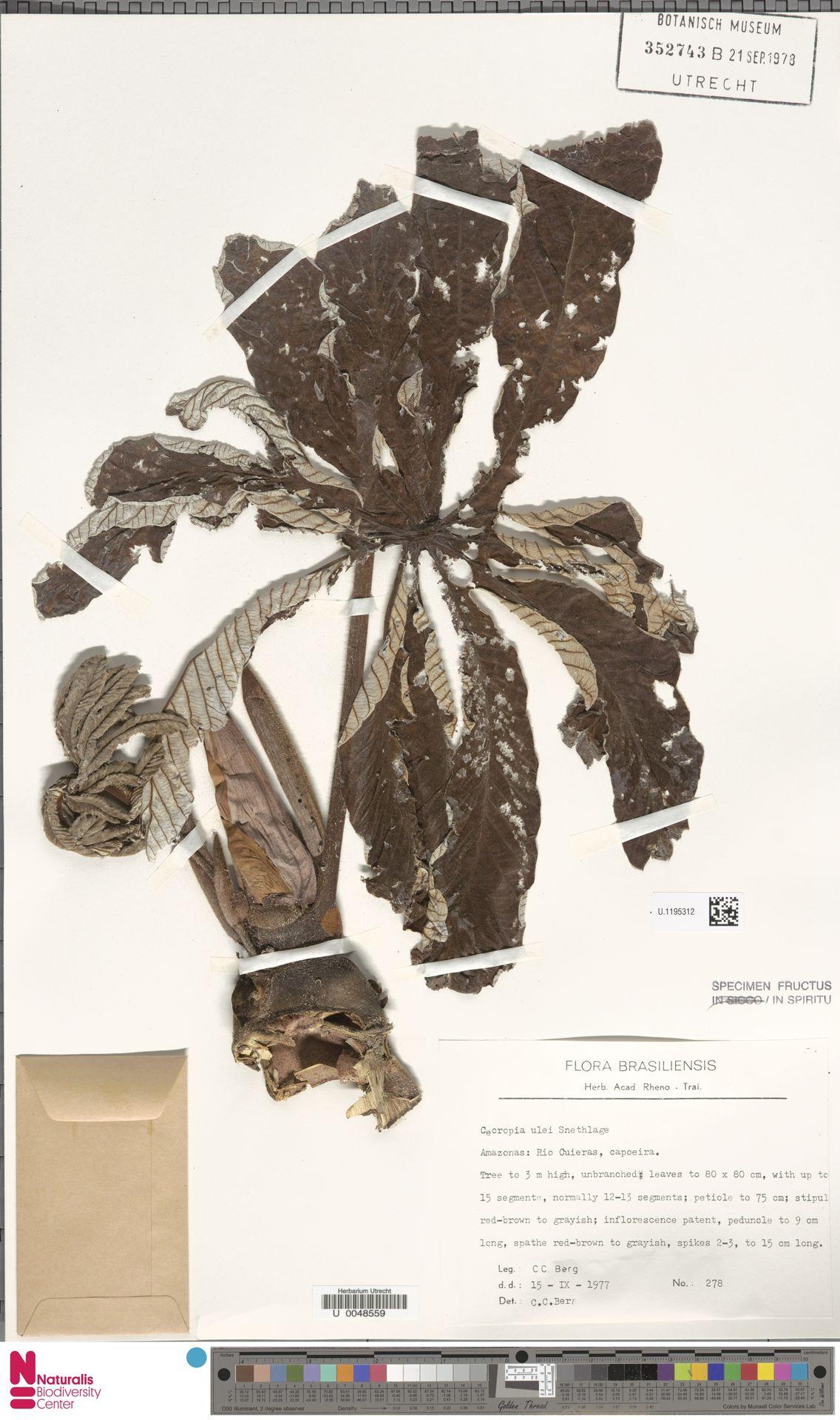 U.1195312 | Cecropia ulei Snethl.