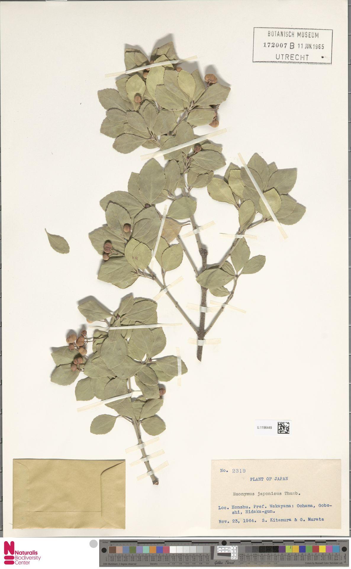 U.1196449 | Euonymus japonicus Thunb.