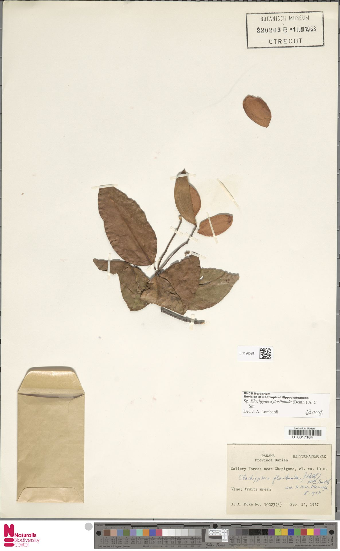 U.1196598 | Elachyptera floribunda (Benth.) A.C.Sm.