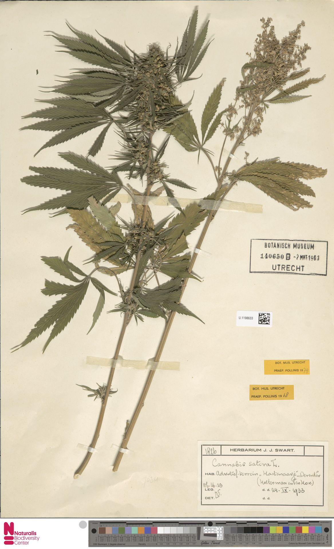 U.1198633 | Cannabis sativa L.