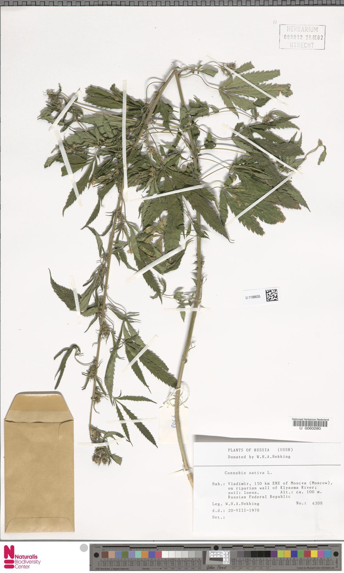 U.1198635 | Cannabis sativa L.
