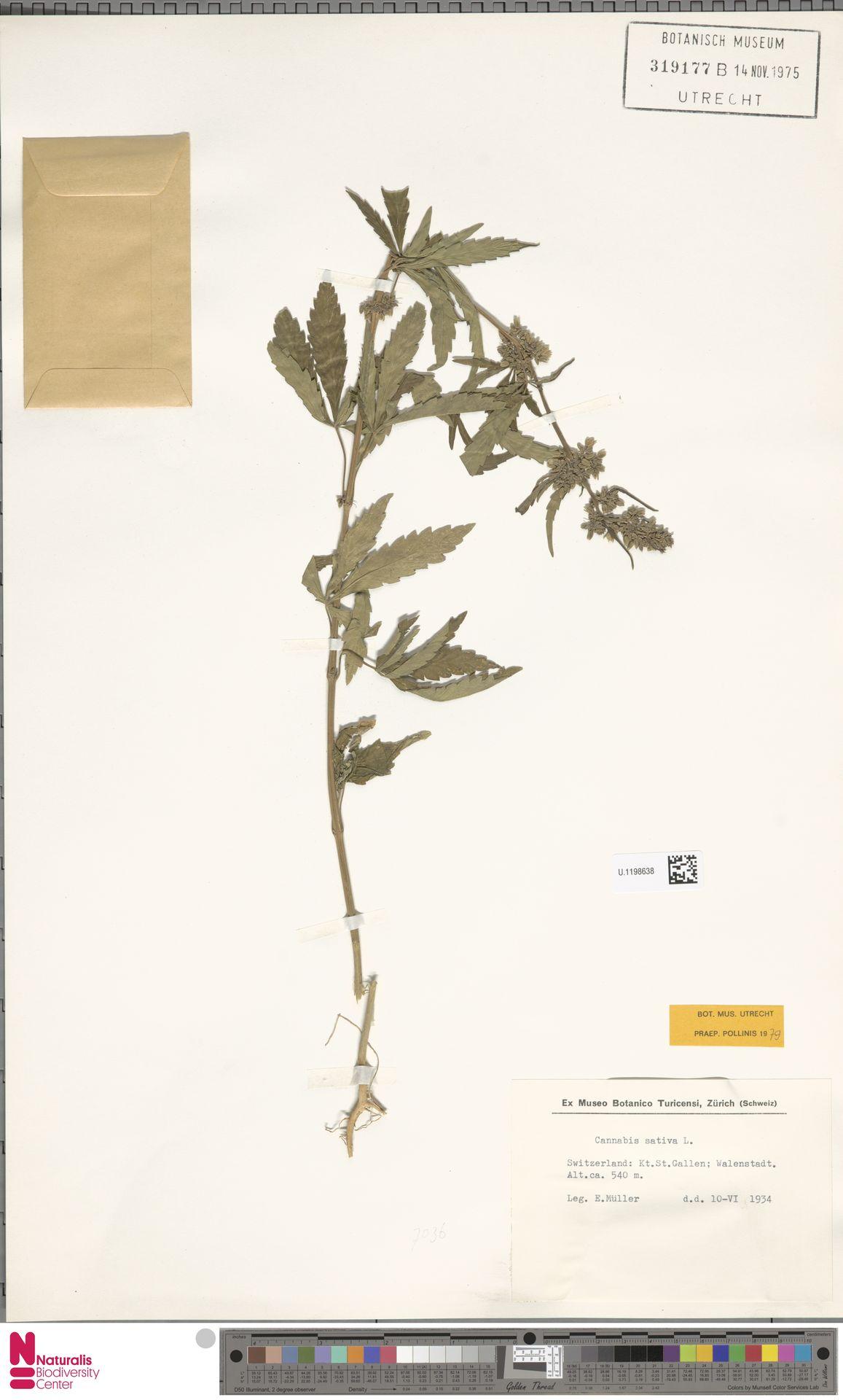 U.1198638 | Cannabis sativa L.