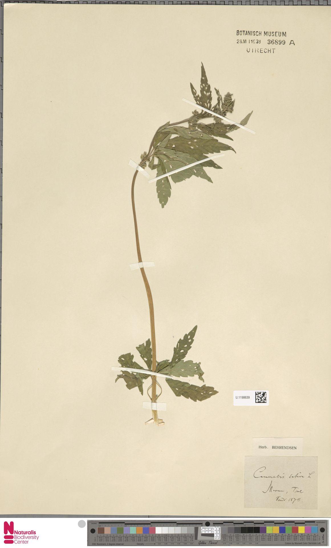 U.1198639 | Cannabis sativa L.